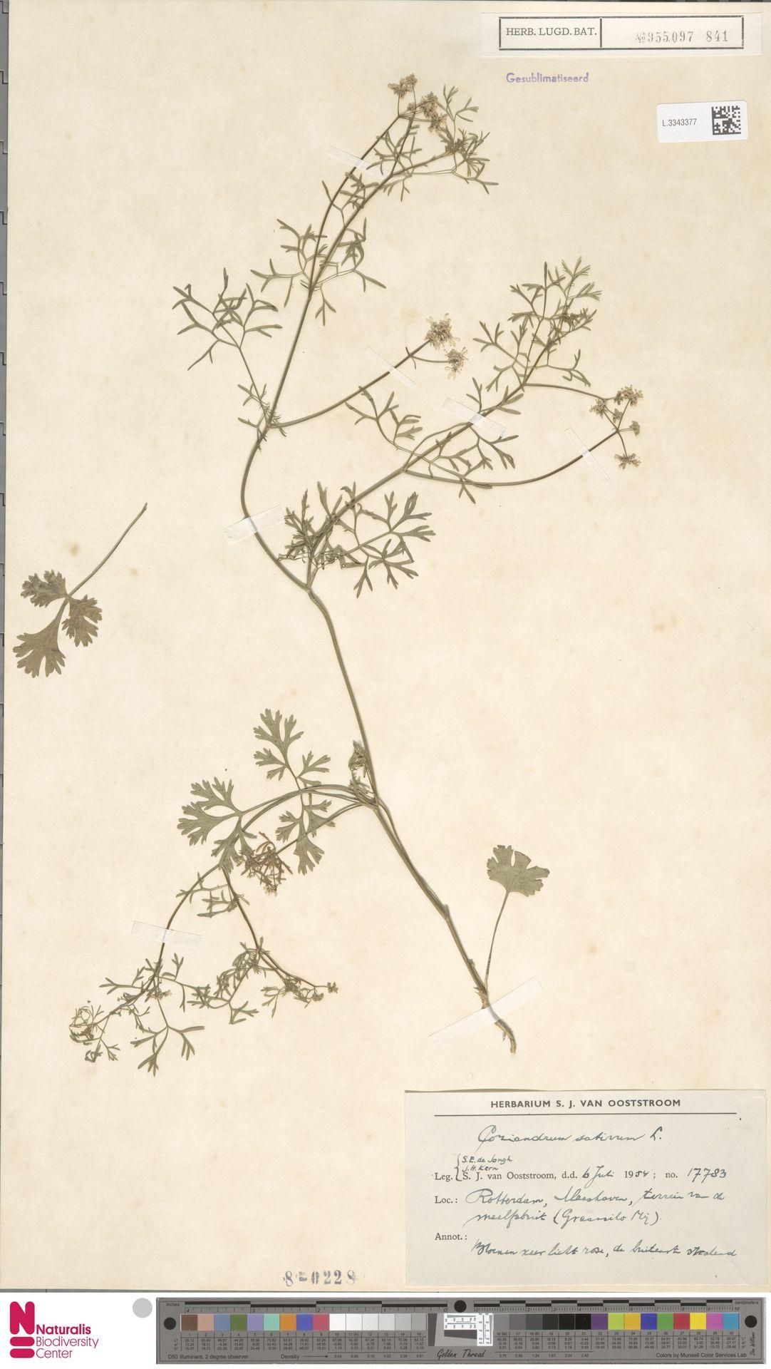 L.3343377 | Coriandrum sativum L.