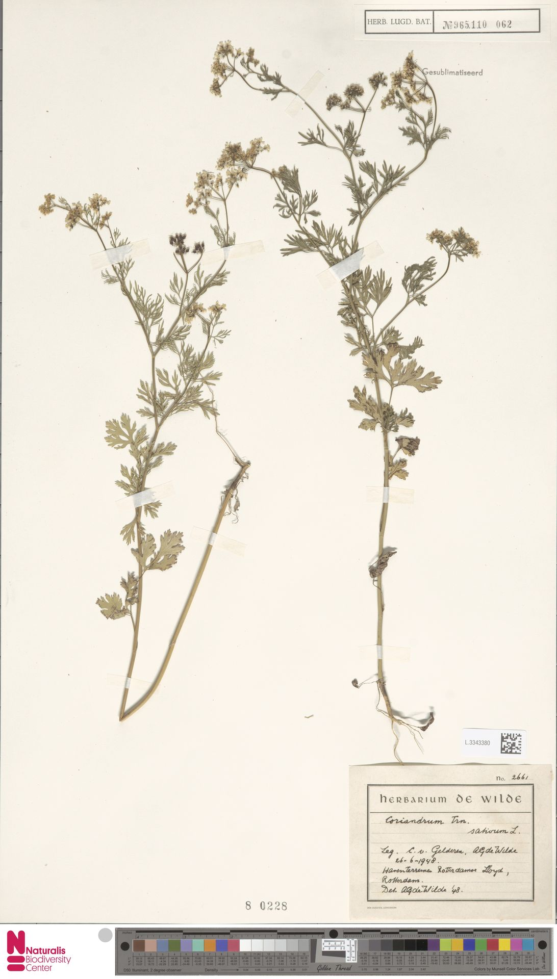L.3343380 | Coriandrum sativum L.