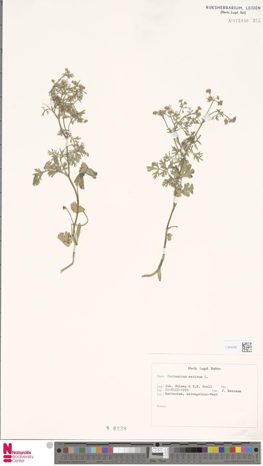 L.3343385   Coriandrum sativum L.