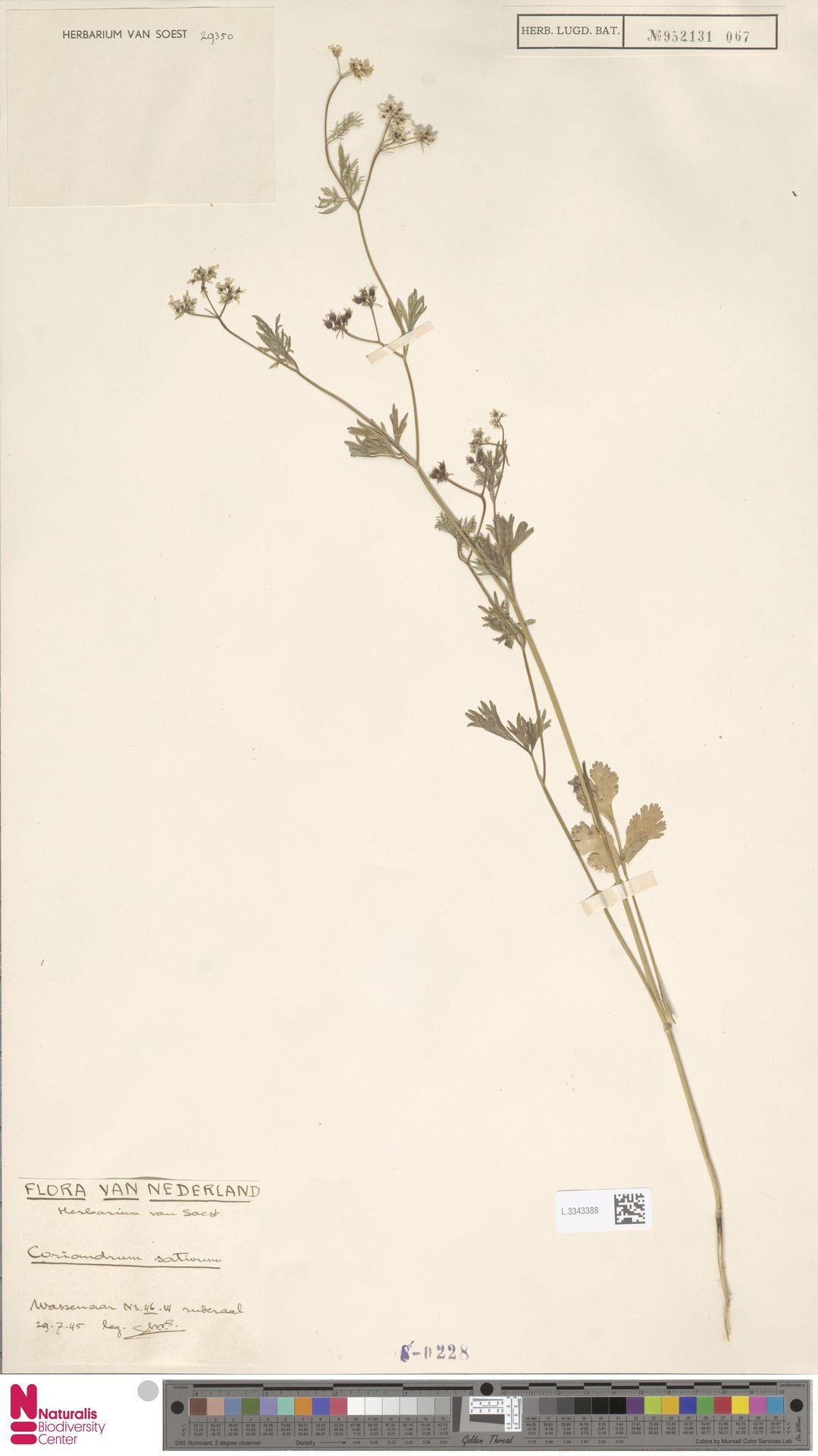 L.3343388 | Coriandrum sativum L.
