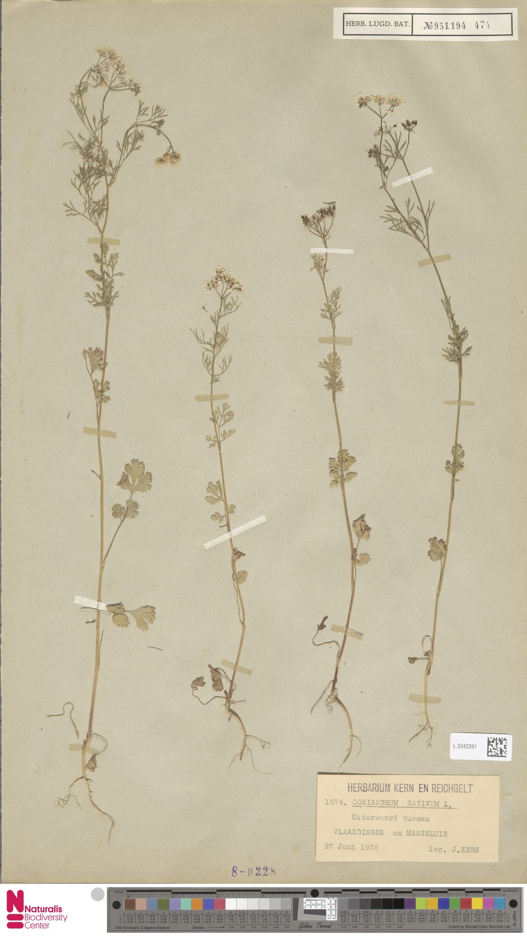 L.3343391 | Coriandrum sativum L.