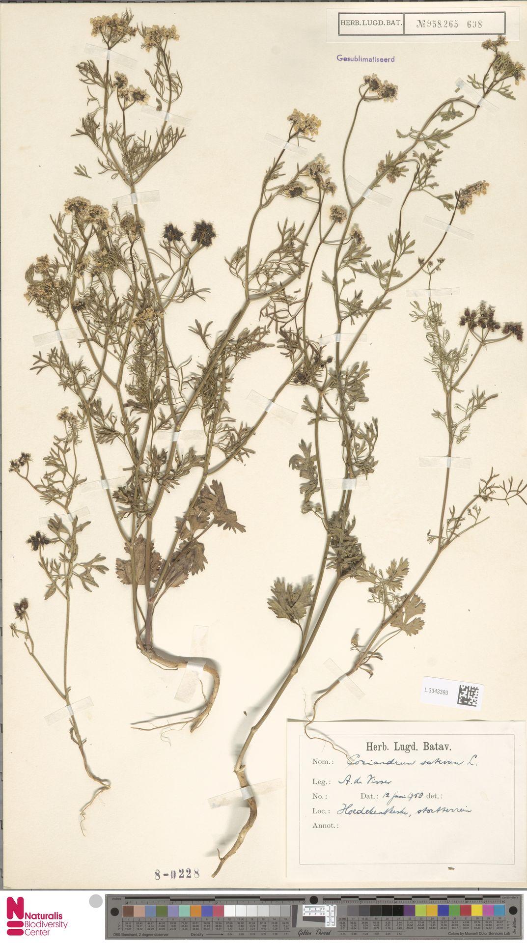 L.3343393 | Coriandrum sativum L.