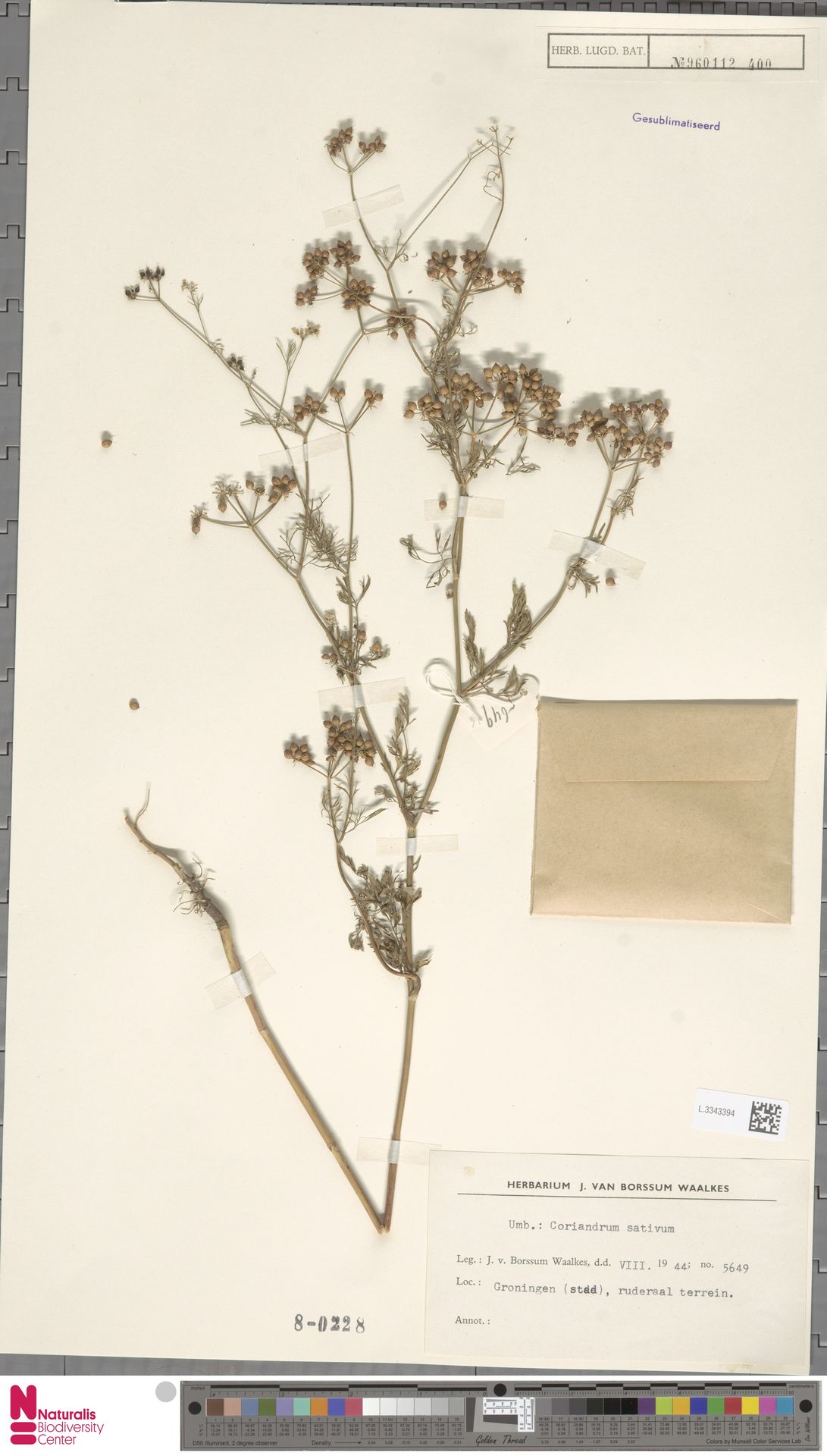L.3343394 | Coriandrum sativum L.
