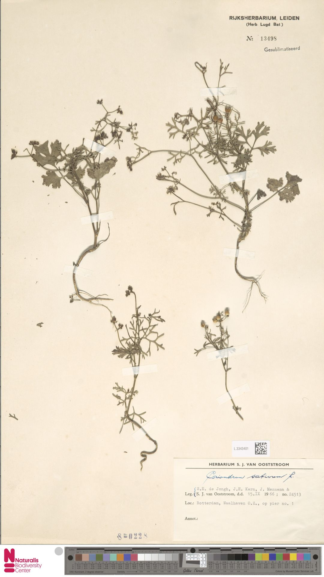 L.3343401 | Coriandrum sativum L.
