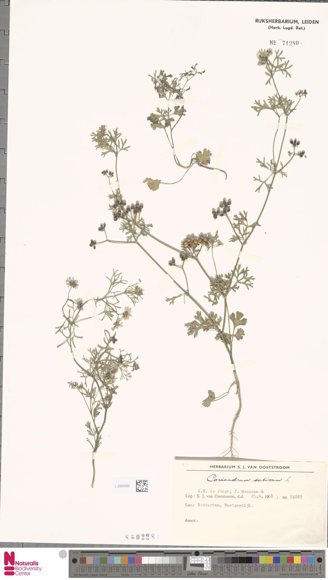 L.3343402   Coriandrum sativum L.