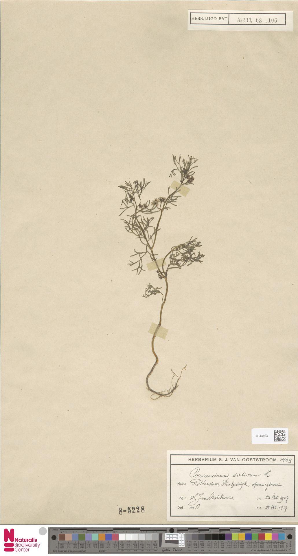 L.3343403 | Coriandrum sativum L.
