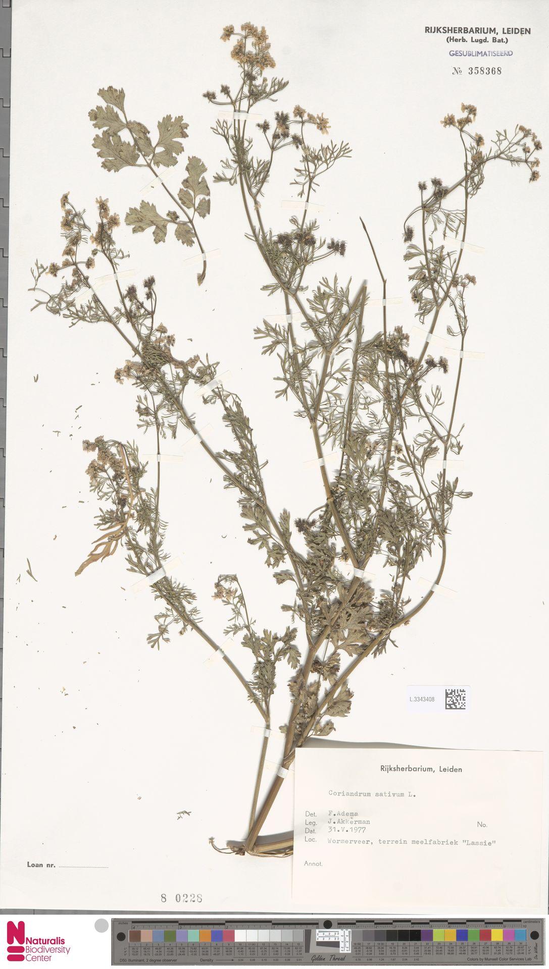 L.3343408 | Coriandrum sativum L.