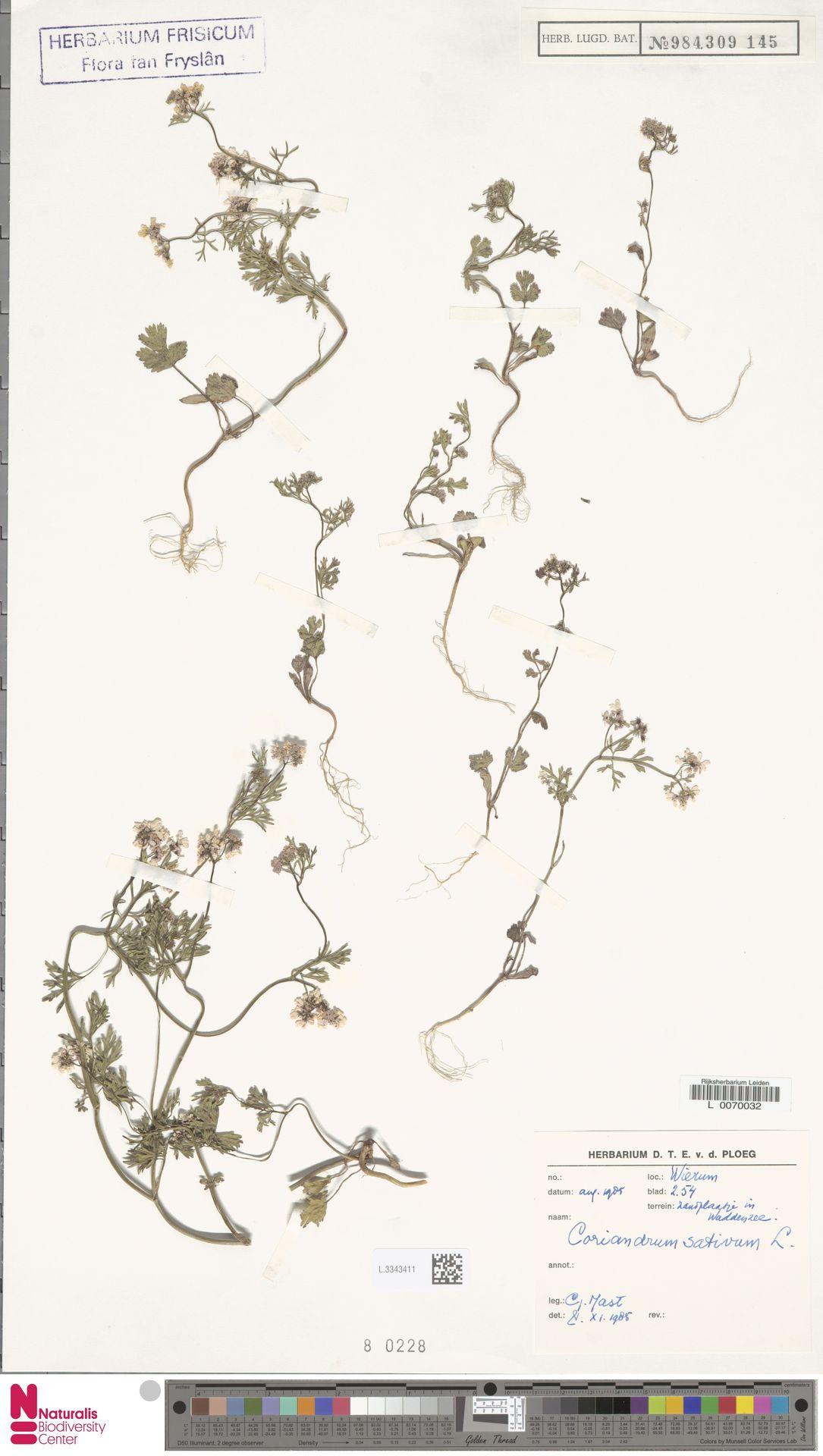 L.3343411   Coriandrum sativum L.