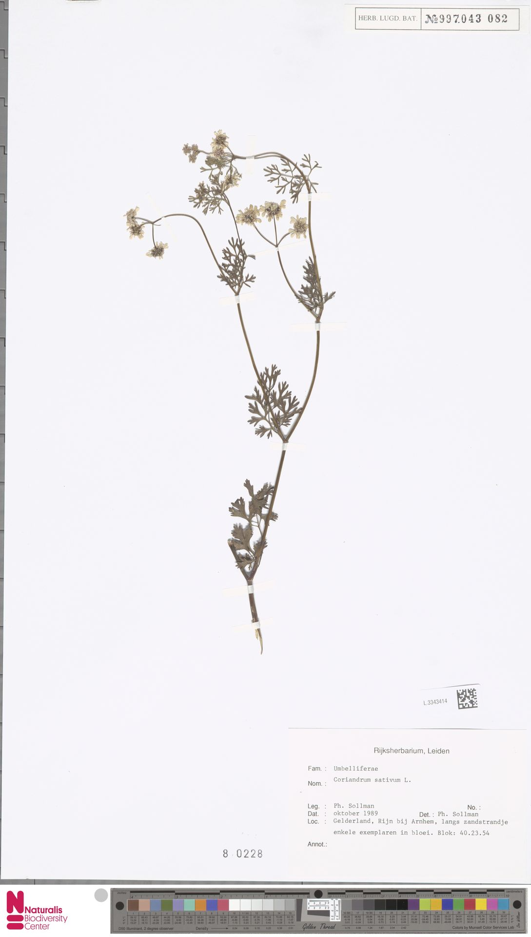 L.3343414 | Coriandrum sativum L.