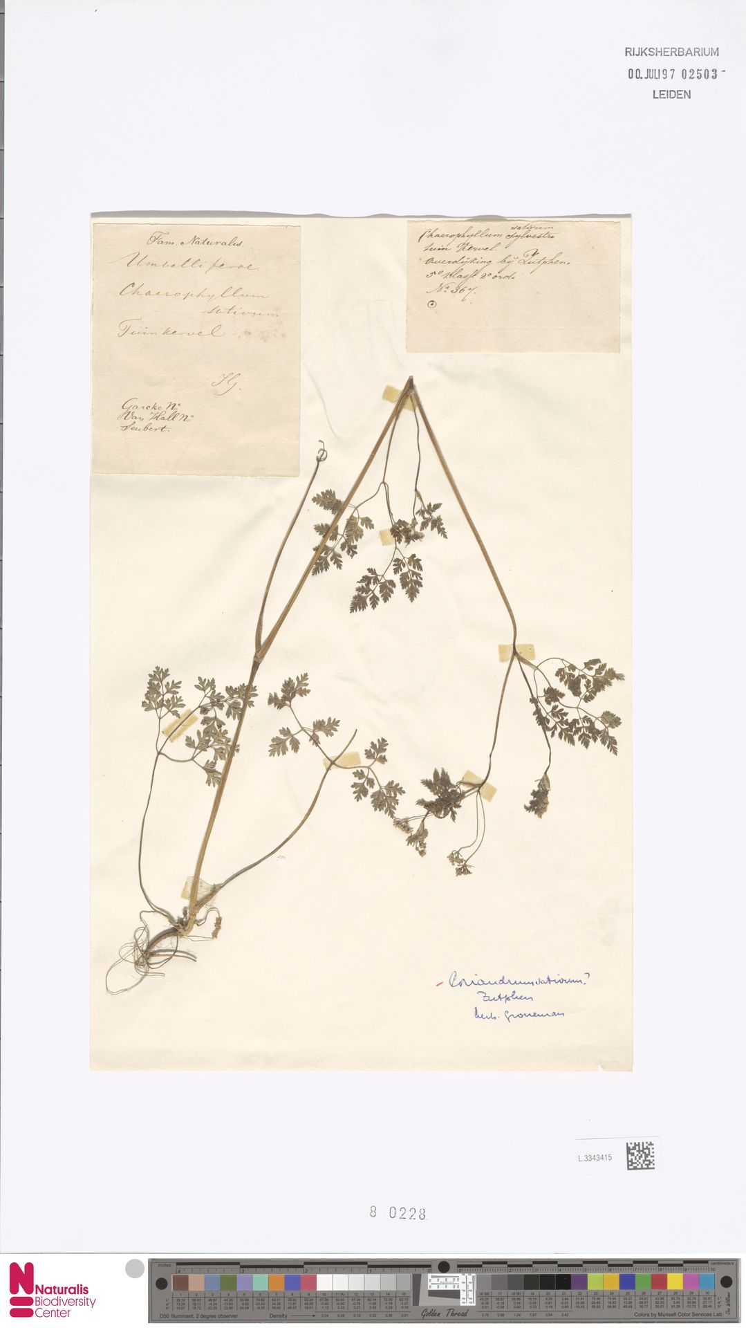 L.3343415   Coriandrum sativum L.