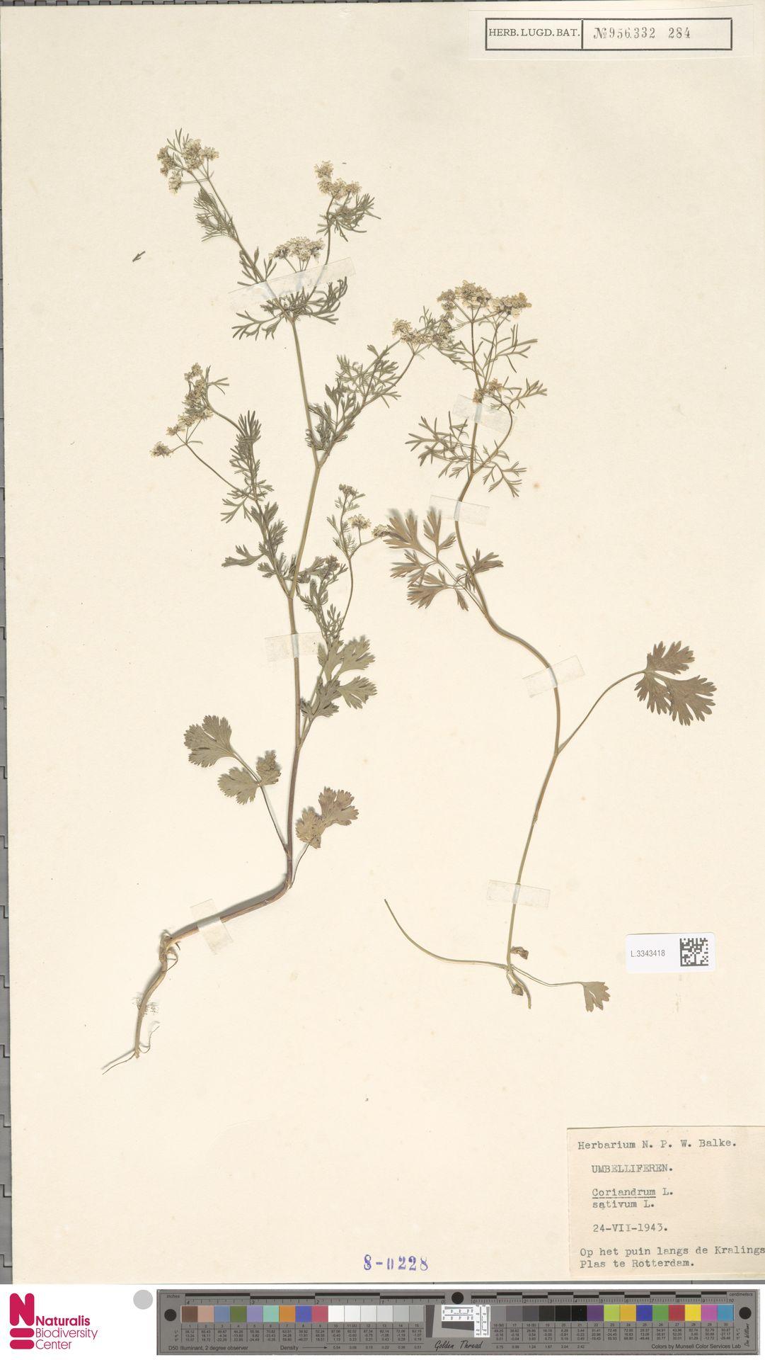 L.3343418 | Coriandrum sativum L.