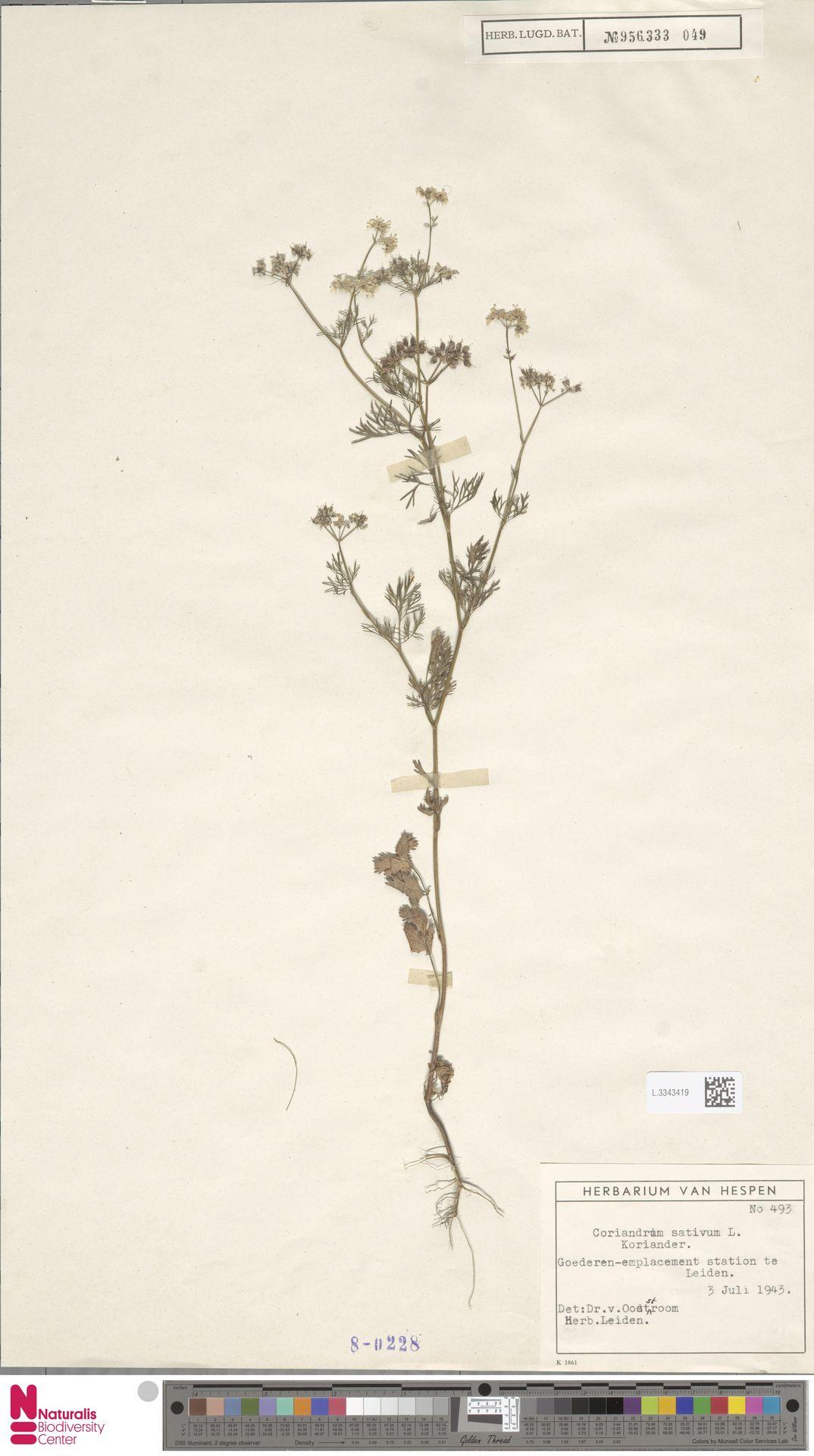 L.3343419 | Coriandrum sativum L.
