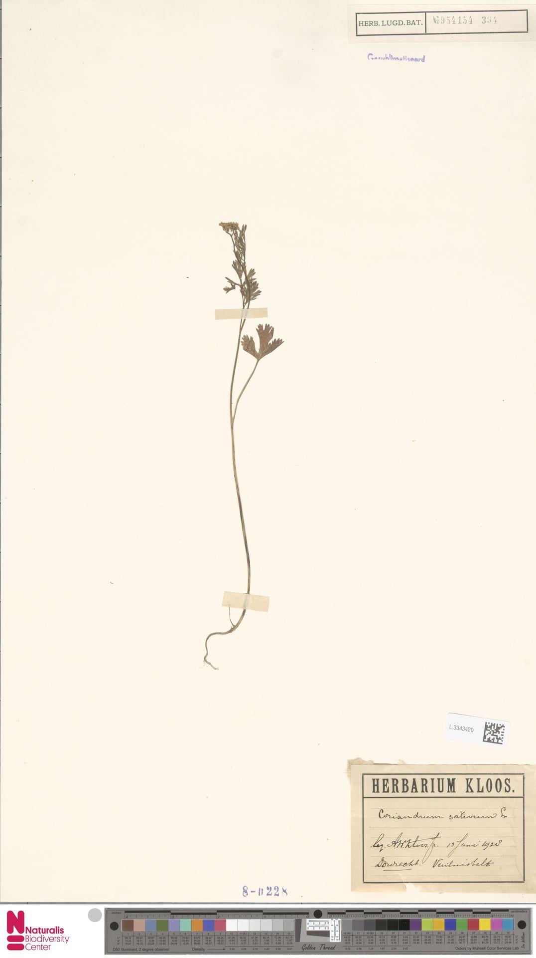 L.3343420 | Coriandrum sativum L.