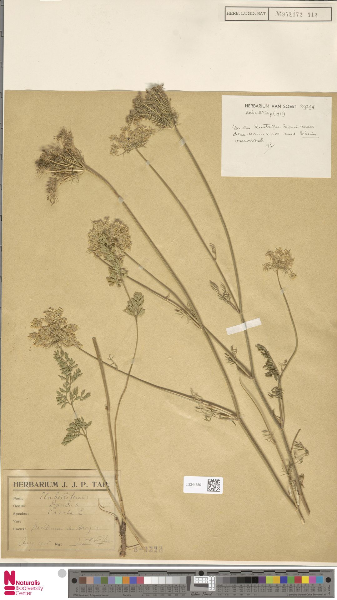 L.3344786 | Daucus carota L.