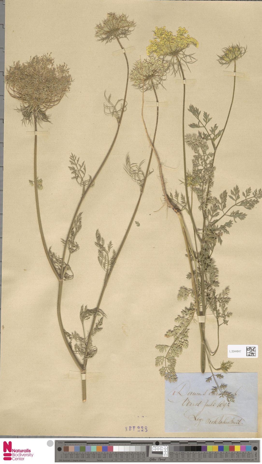 L.3344847 | Daucus carota L.