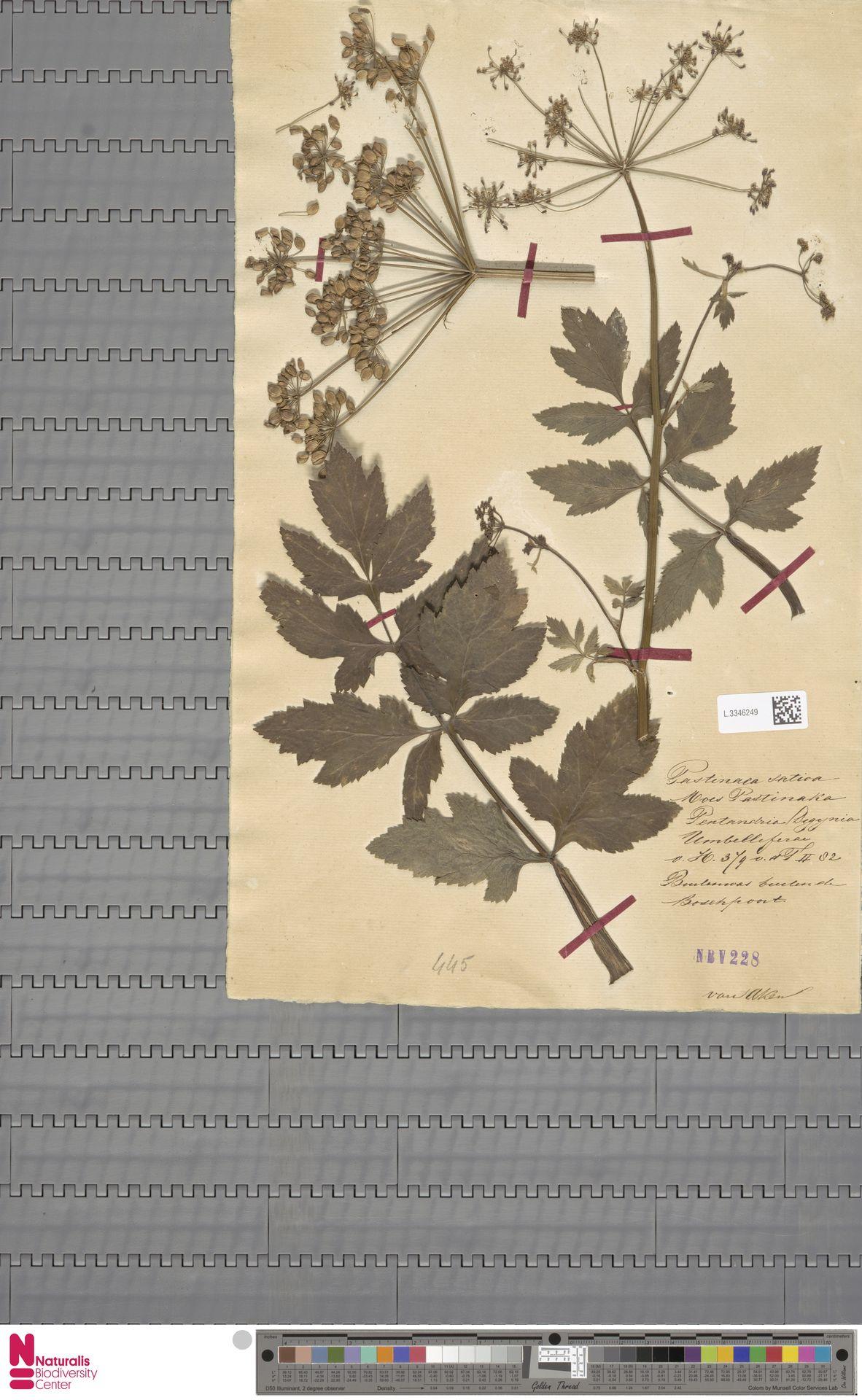 L.3346249 | Pastinaca sativa L.