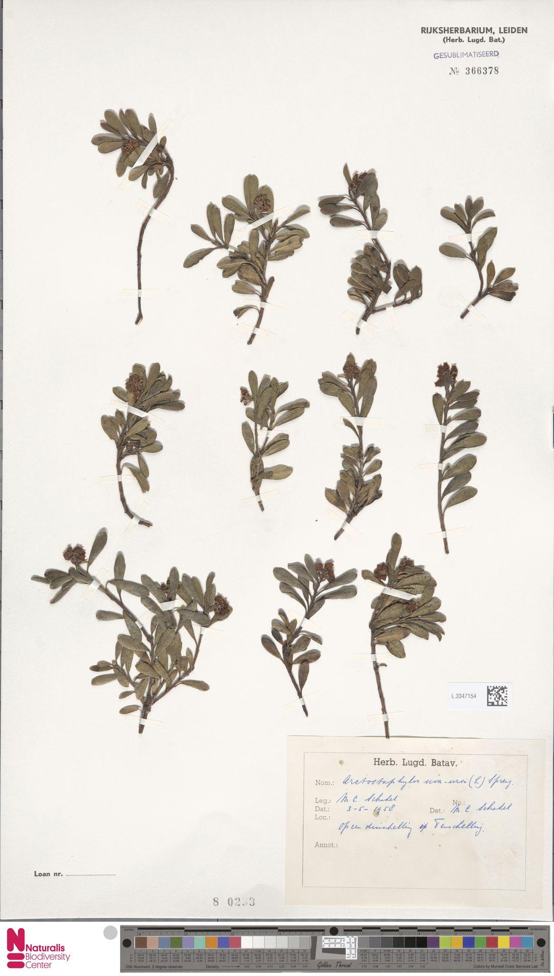 L.3347154   Arctostaphylos uva-ursi (L.) Spreng.