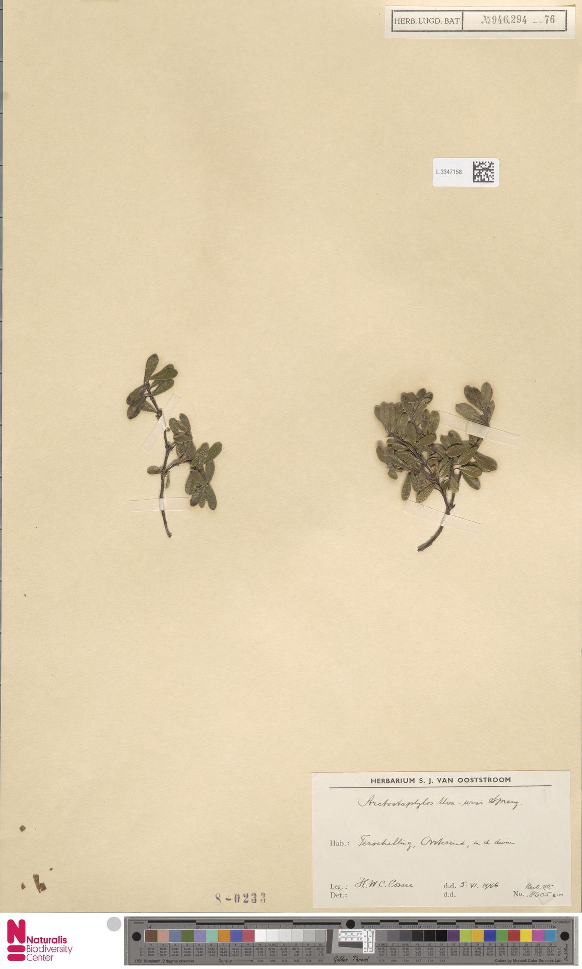L.3347158 | Arctostaphylos uva-ursi (L.) Spreng.