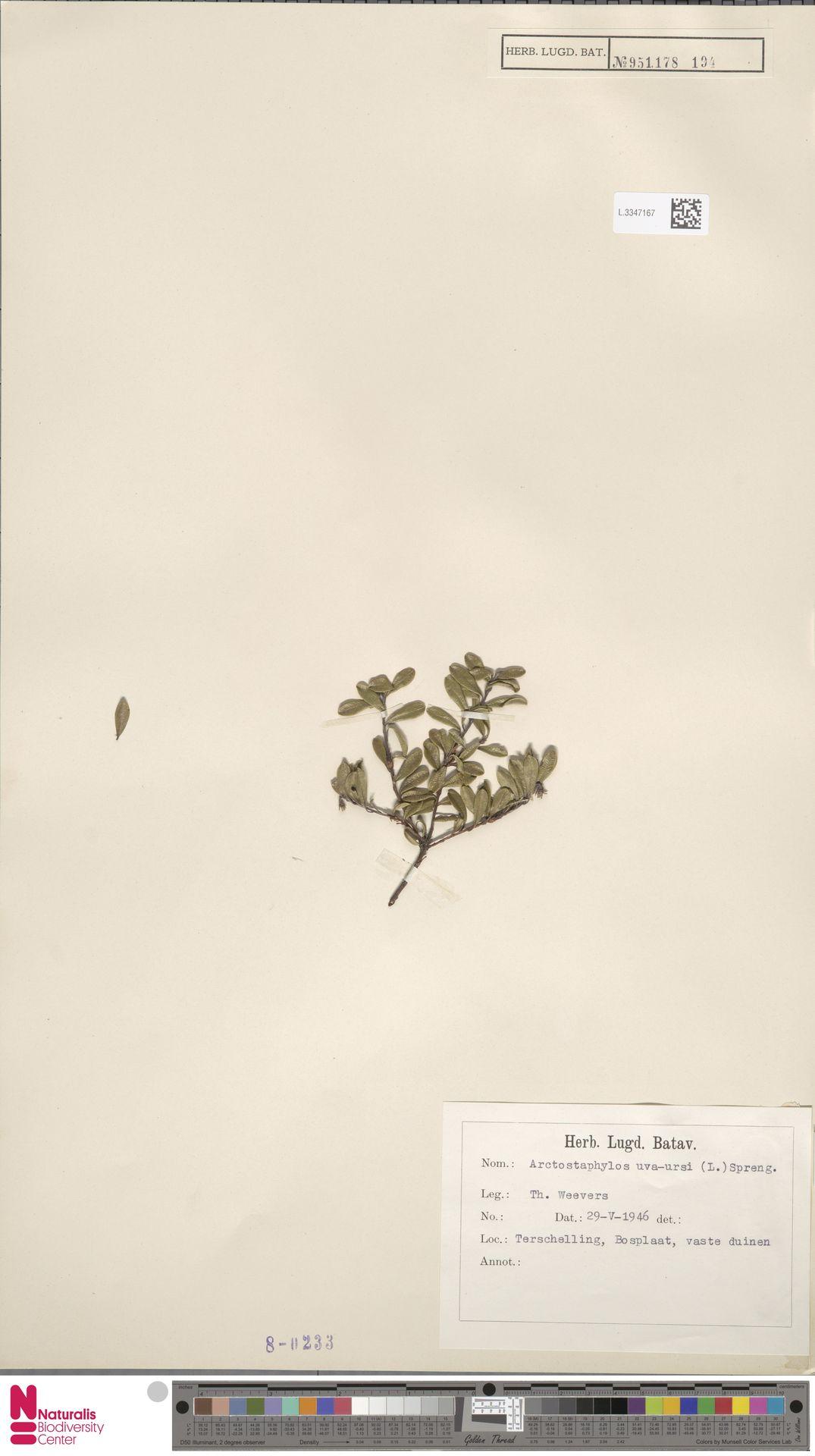 L.3347167 | Arctostaphylos uva-ursi (L.) Spreng.