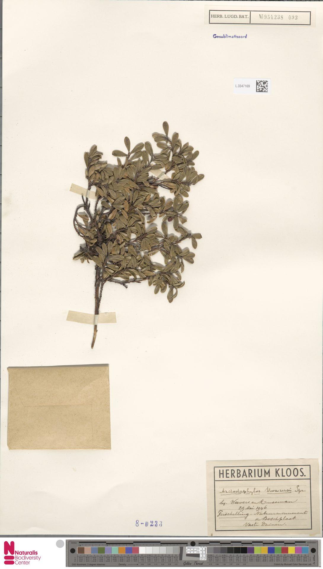 L.3347169 | Arctostaphylos uva-ursi (L.) Spreng.