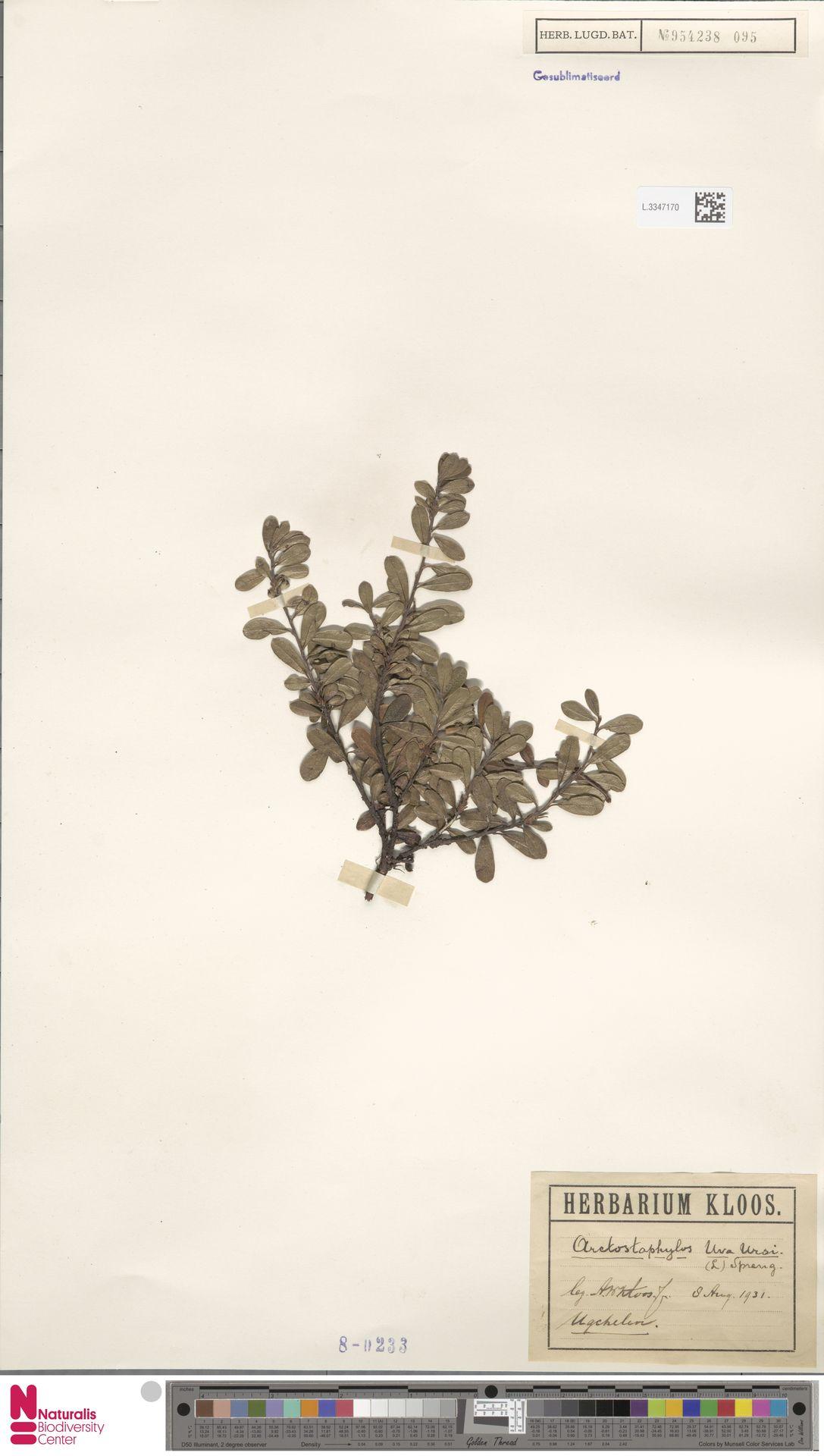 L.3347170   Arctostaphylos uva-ursi (L.) Spreng.