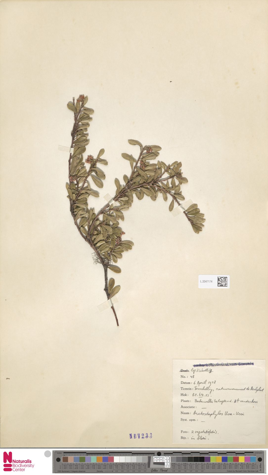 L.3347174   Arctostaphylos uva-ursi (L.) Spreng.