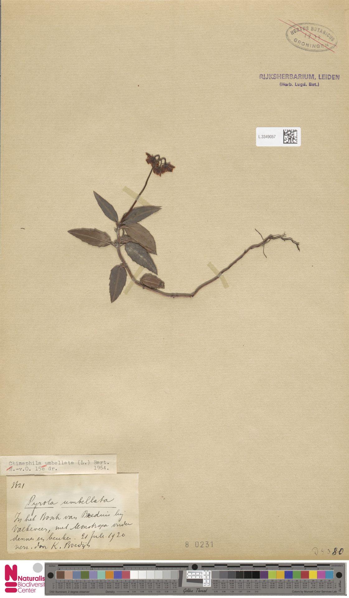 L.3349057 | Chimaphila umbellata (L.) W.C.Barton