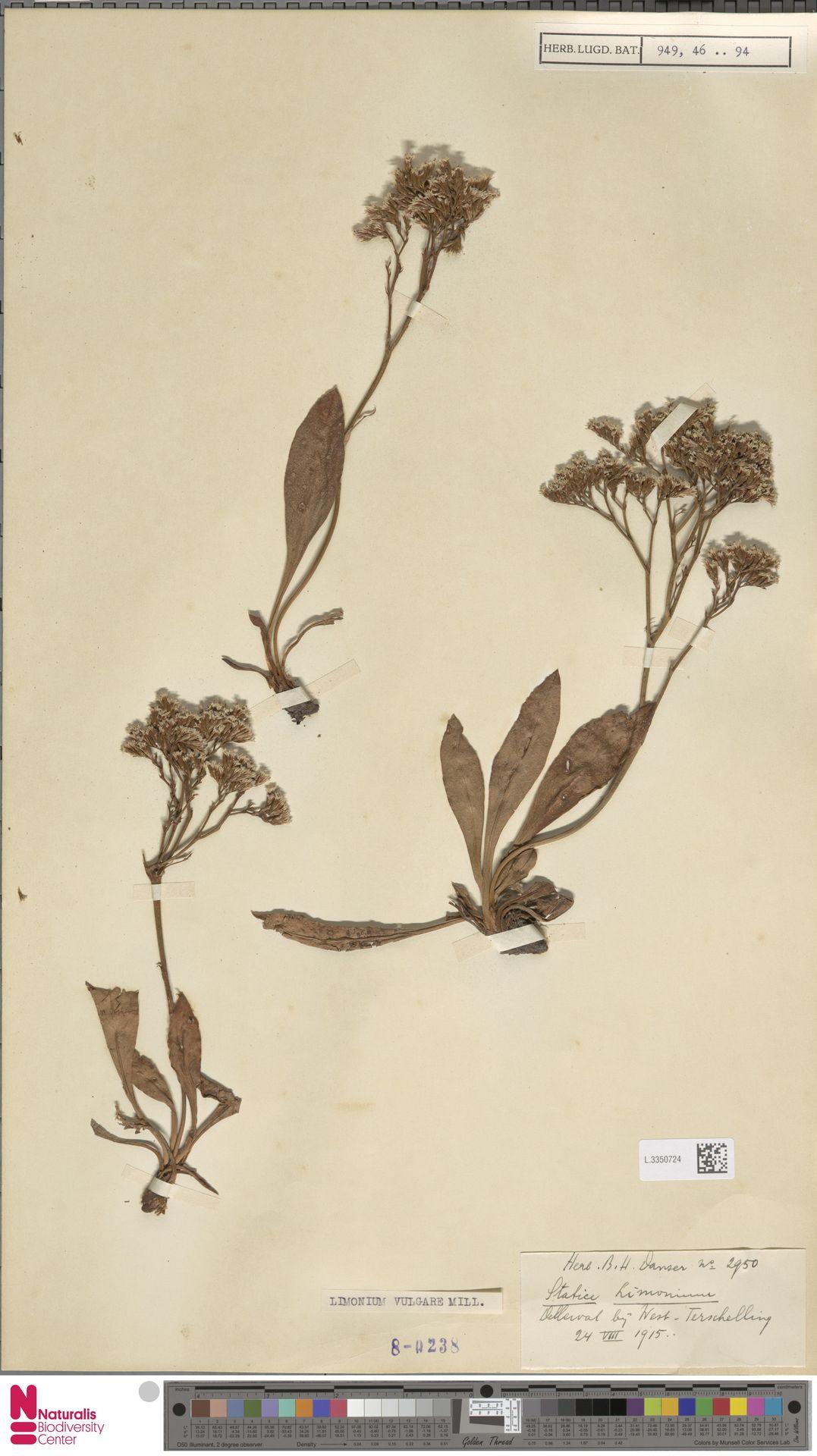 L.3350724 | Limonium vulgare Mill.