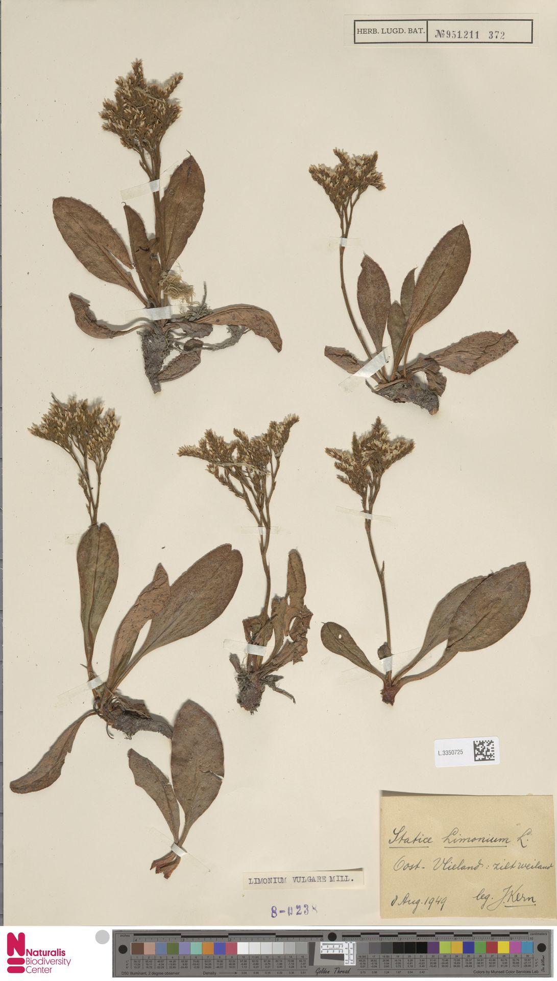 L.3350725 | Limonium vulgare Mill.