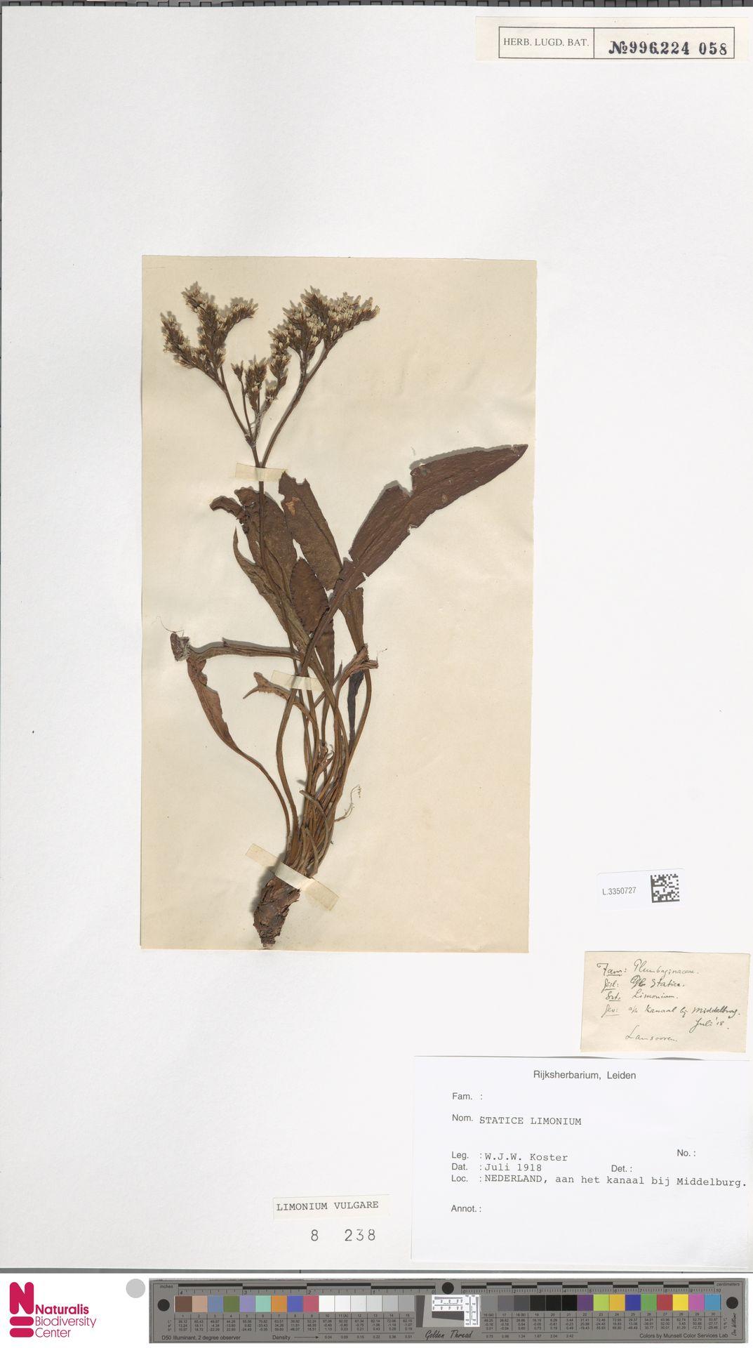 L.3350727 | Limonium vulgare Mill.