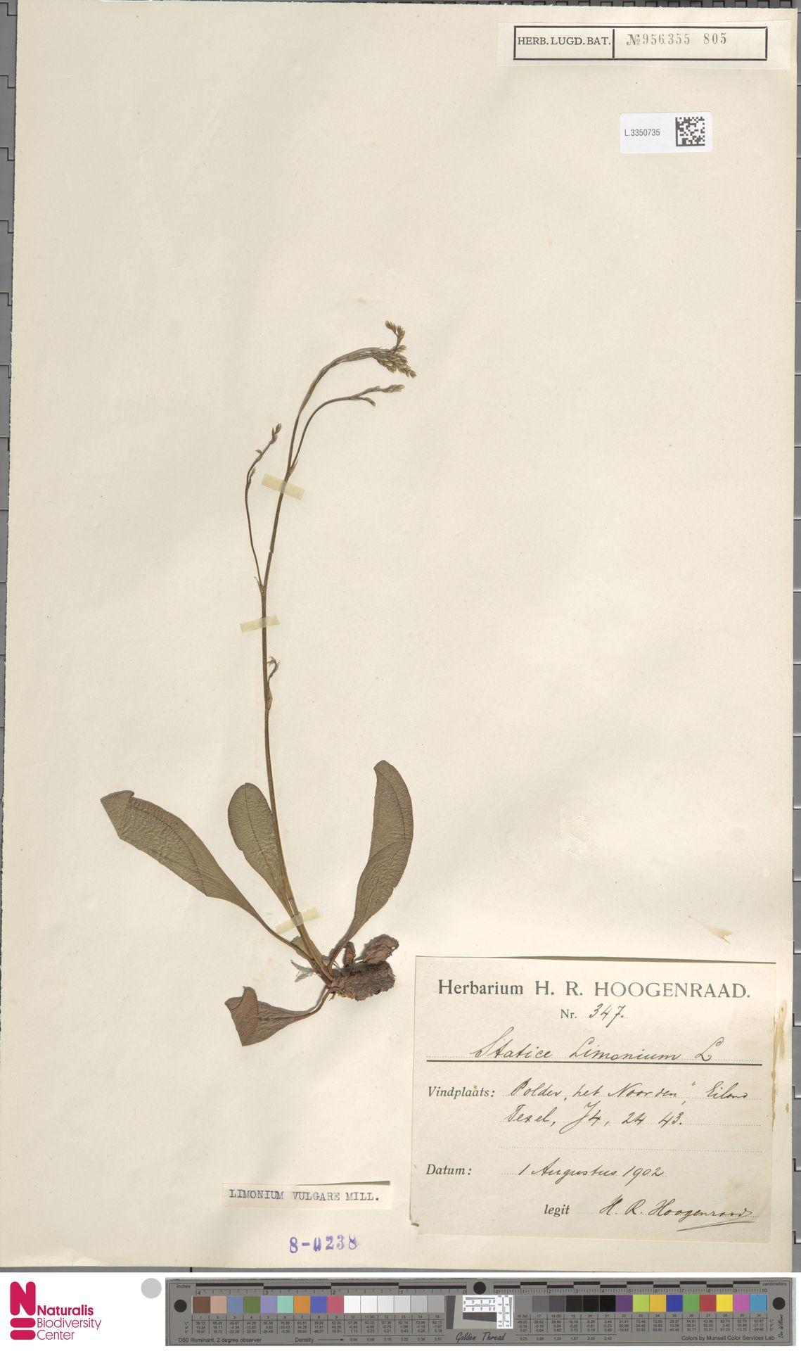 L.3350735 | Limonium vulgare Mill.