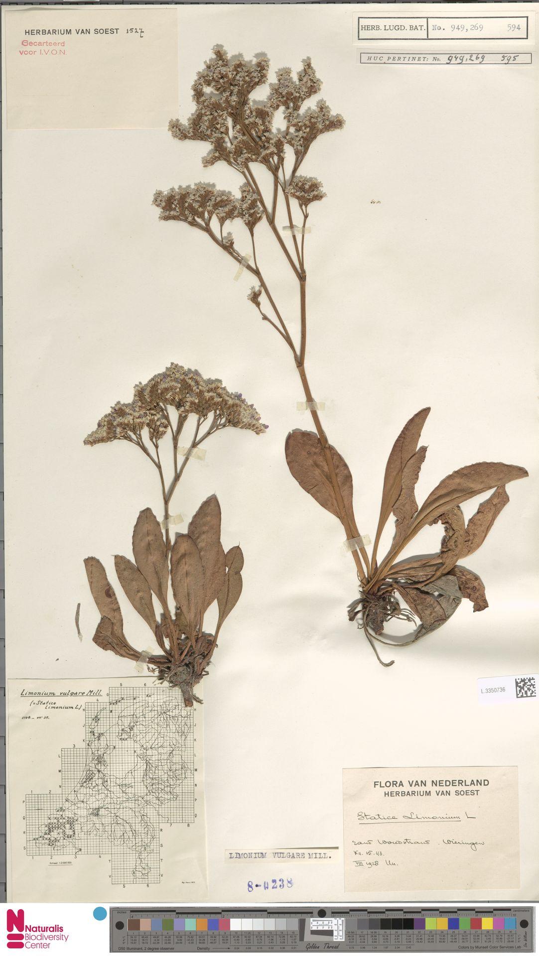 L.3350736 | Limonium vulgare Mill.