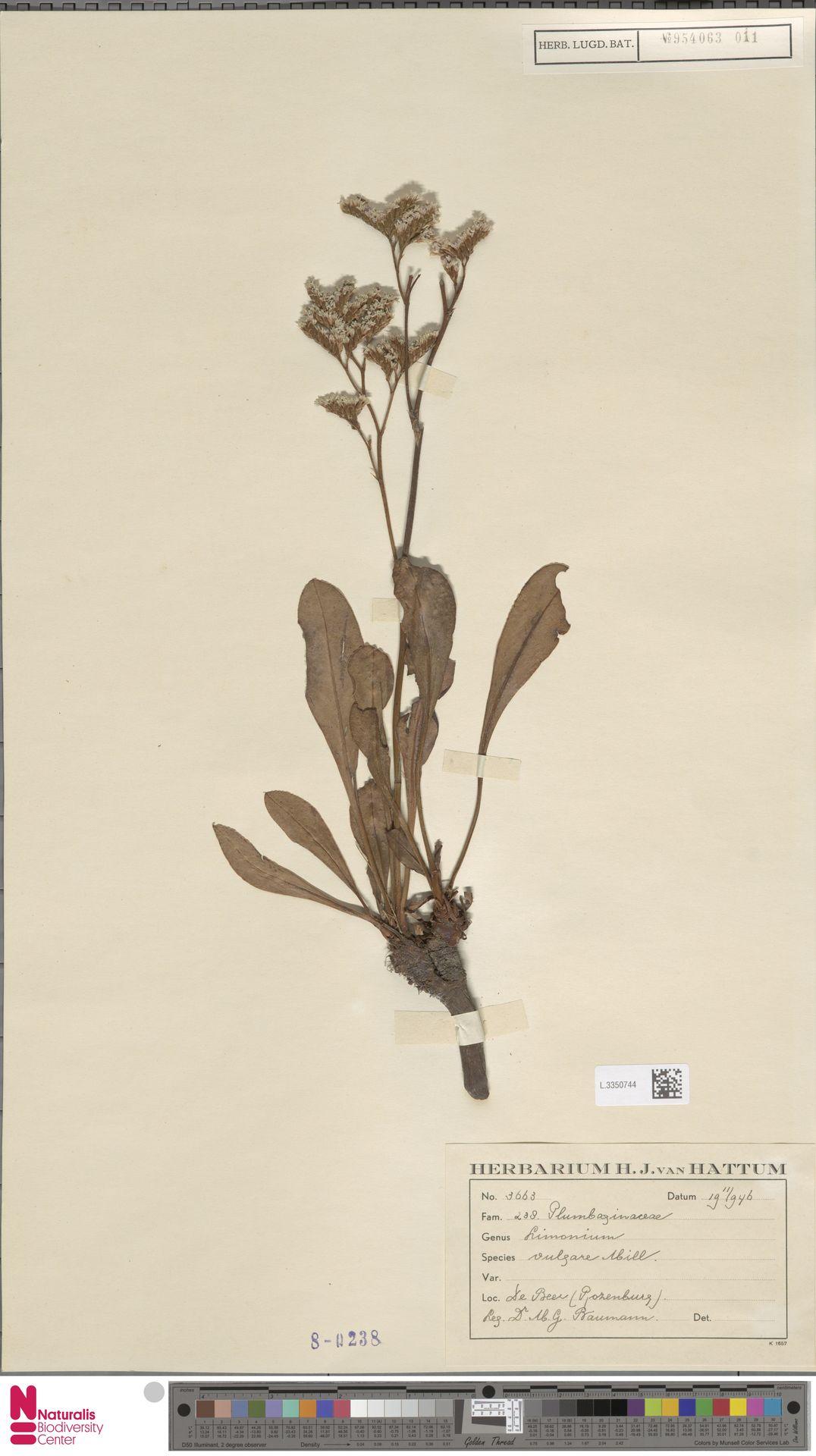 L.3350744 | Limonium vulgare Mill.