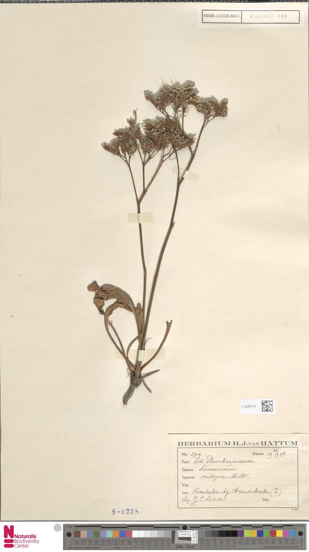L.3350745 | Limonium vulgare Mill.