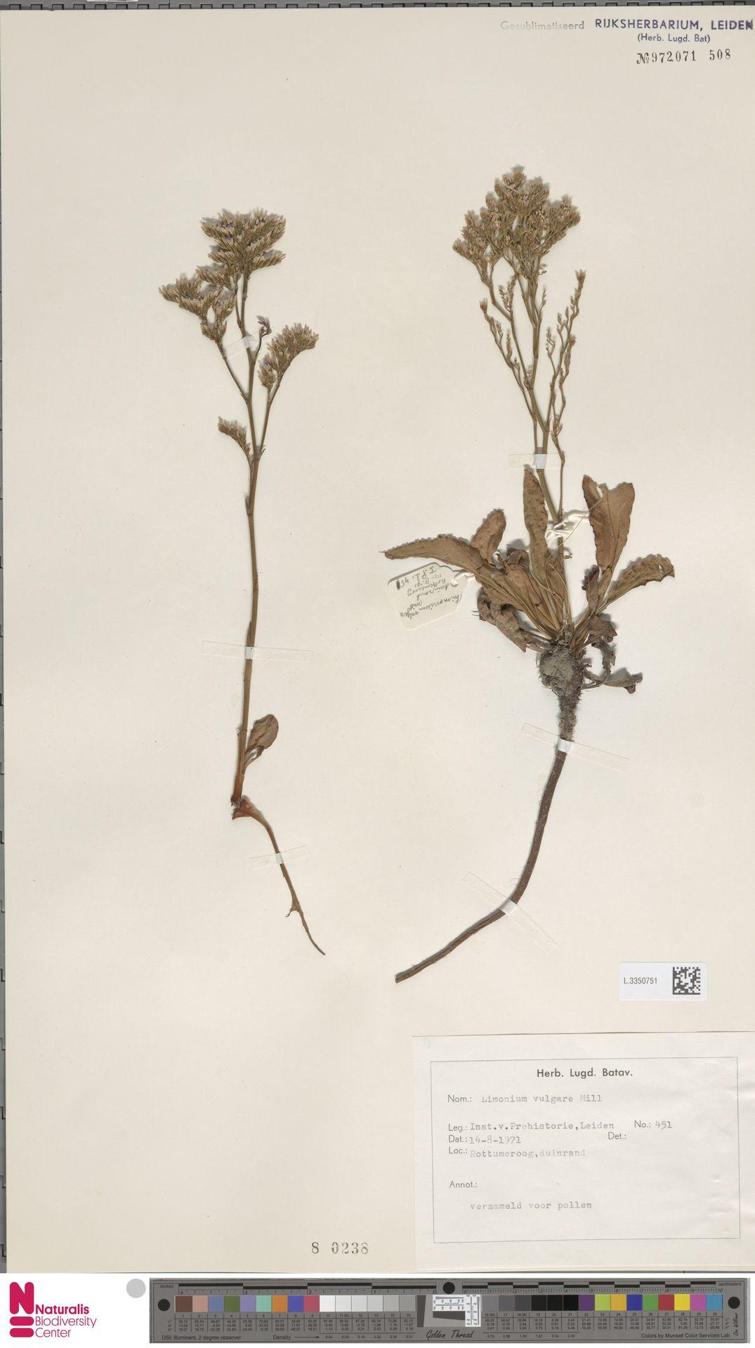 L.3350751 | Limonium vulgare Mill.