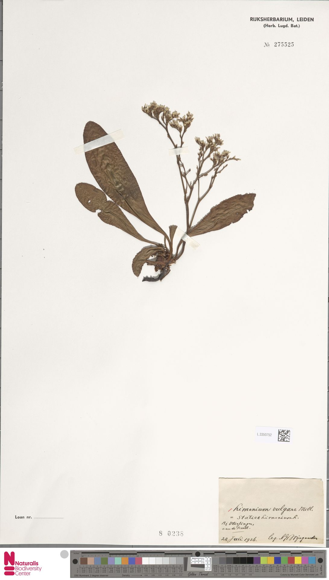 L.3350752 | Limonium vulgare Mill.