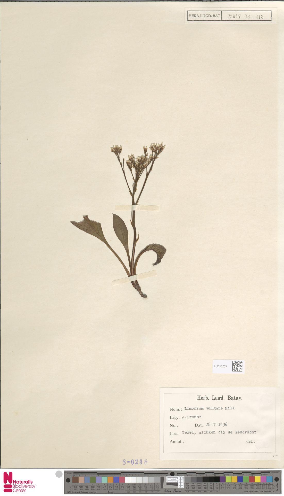L.3350755 | Limonium vulgare Mill.