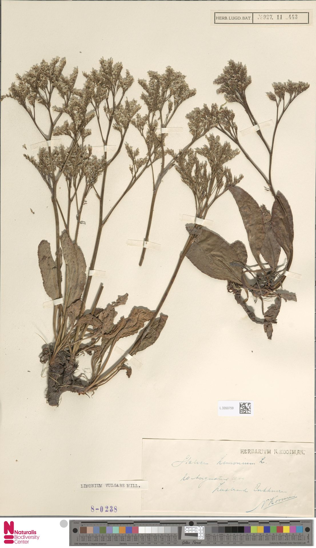 L.3350759 | Limonium vulgare Mill.