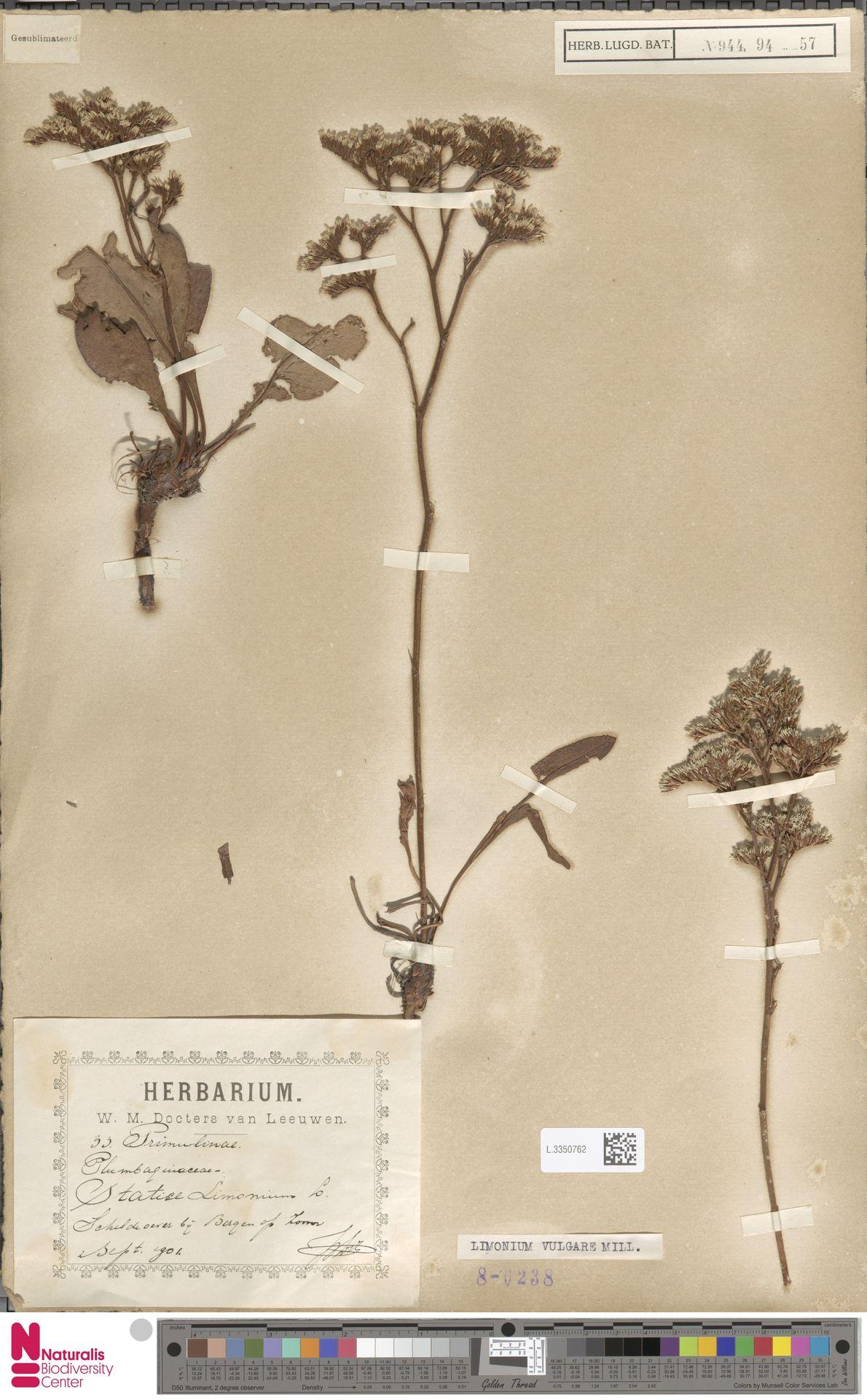 L.3350762 | Limonium vulgare Mill.