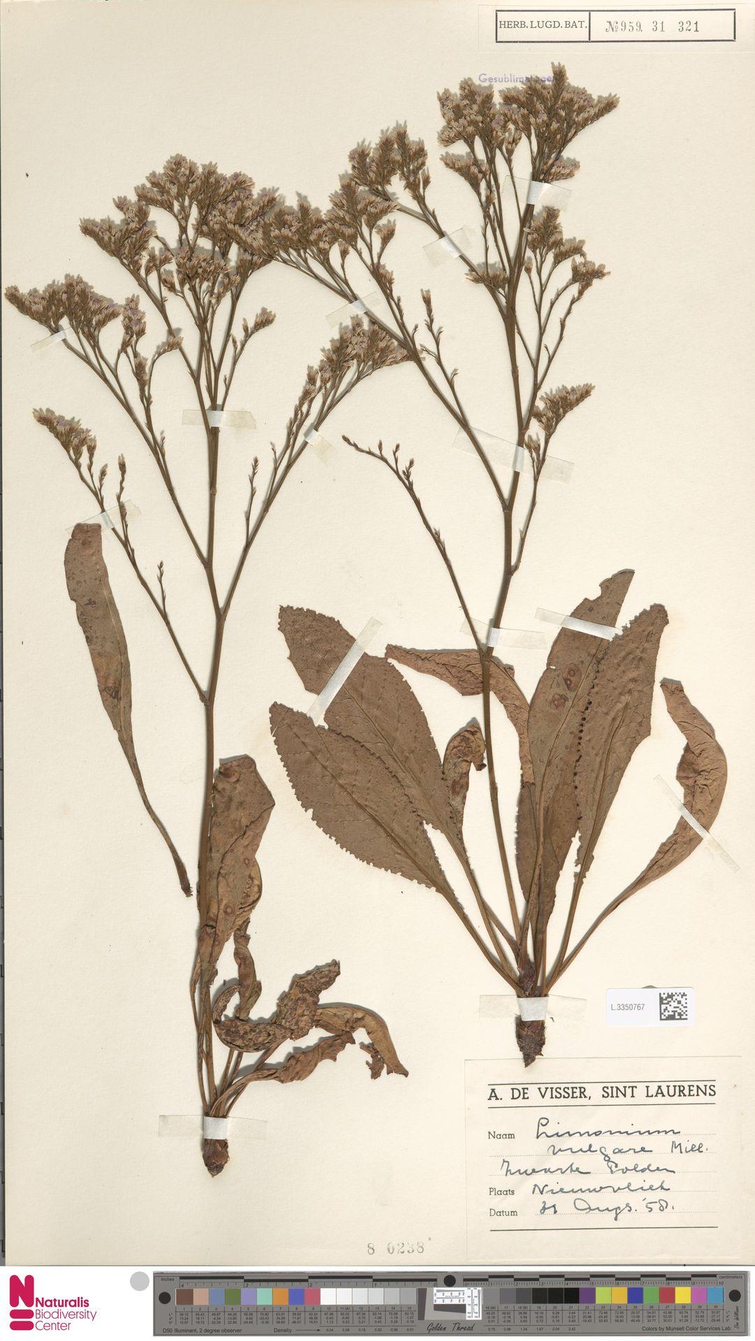 L.3350767 | Limonium vulgare Mill.