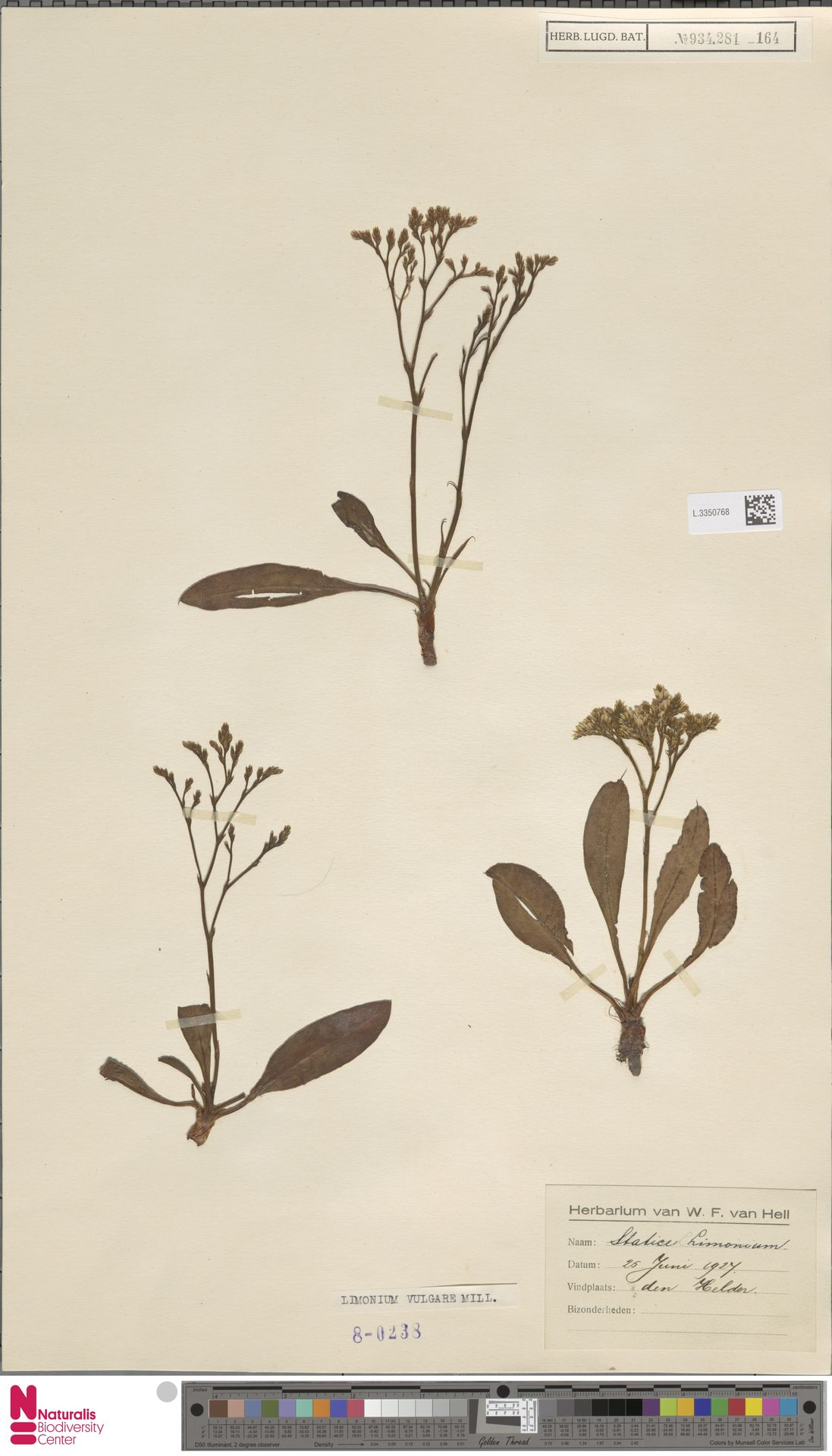 L.3350768 | Limonium vulgare Mill.