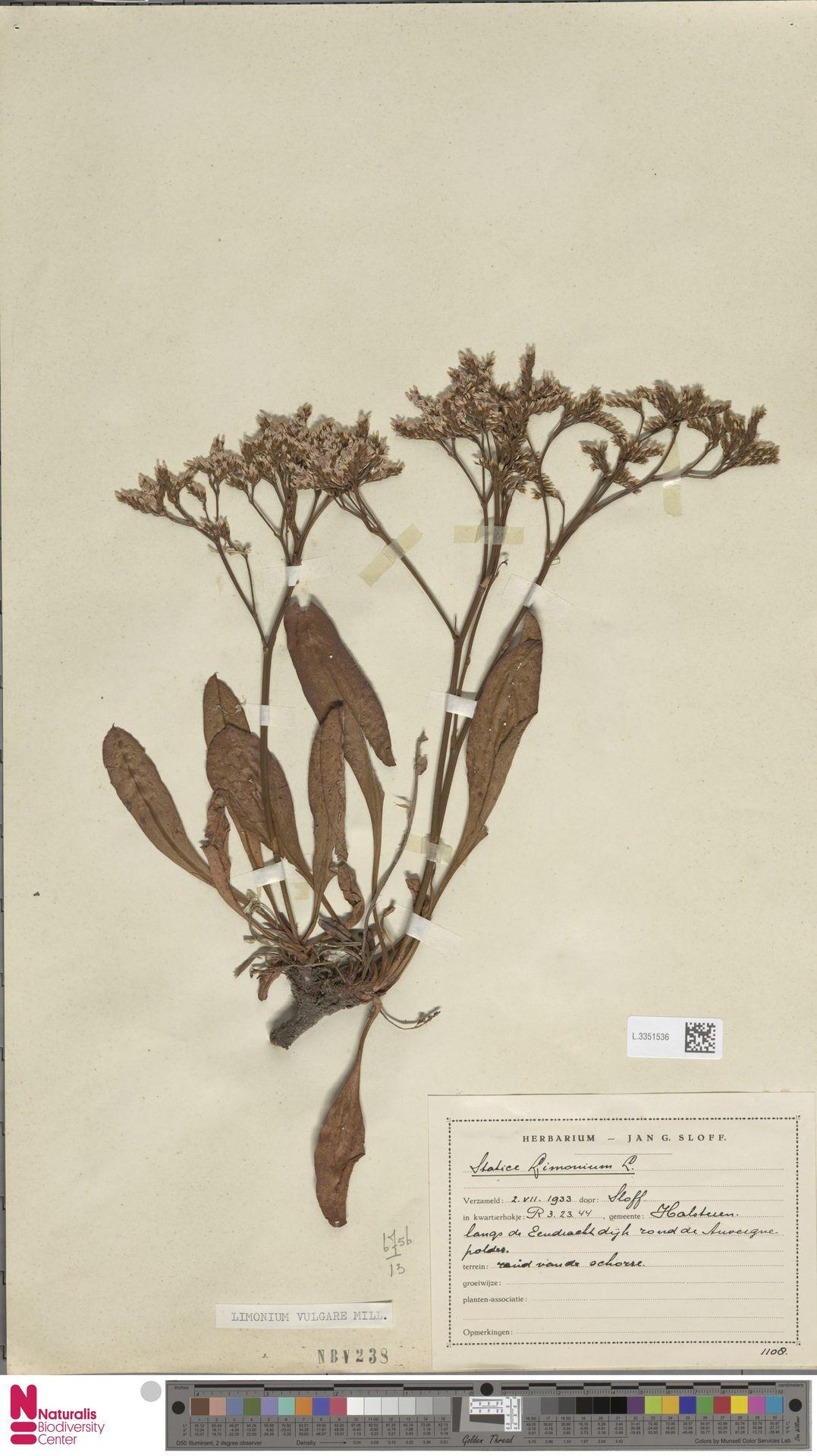 L.3351536 | Limonium vulgare Mill.