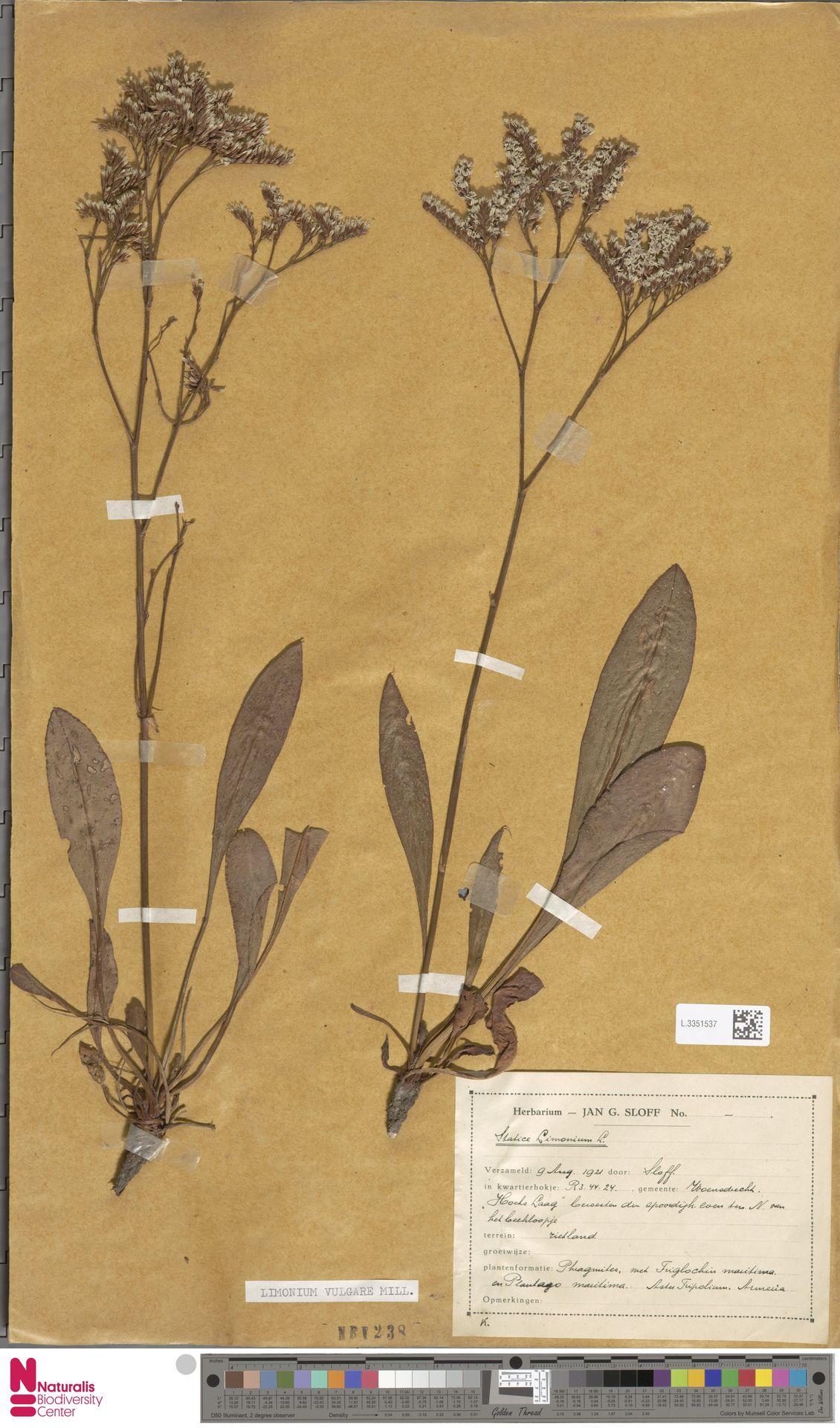 L.3351537 | Limonium vulgare Mill.
