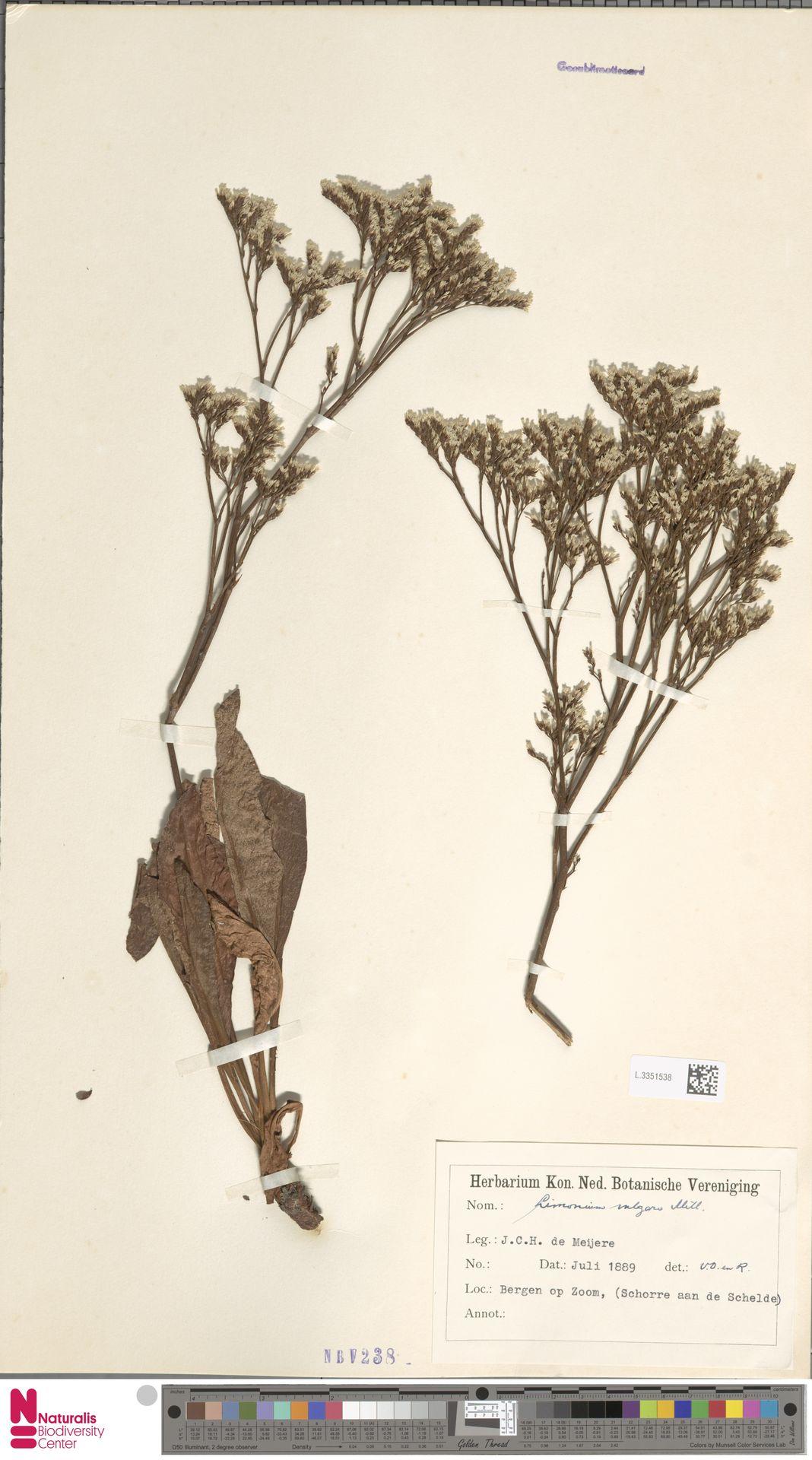 L.3351538 | Limonium vulgare Mill.