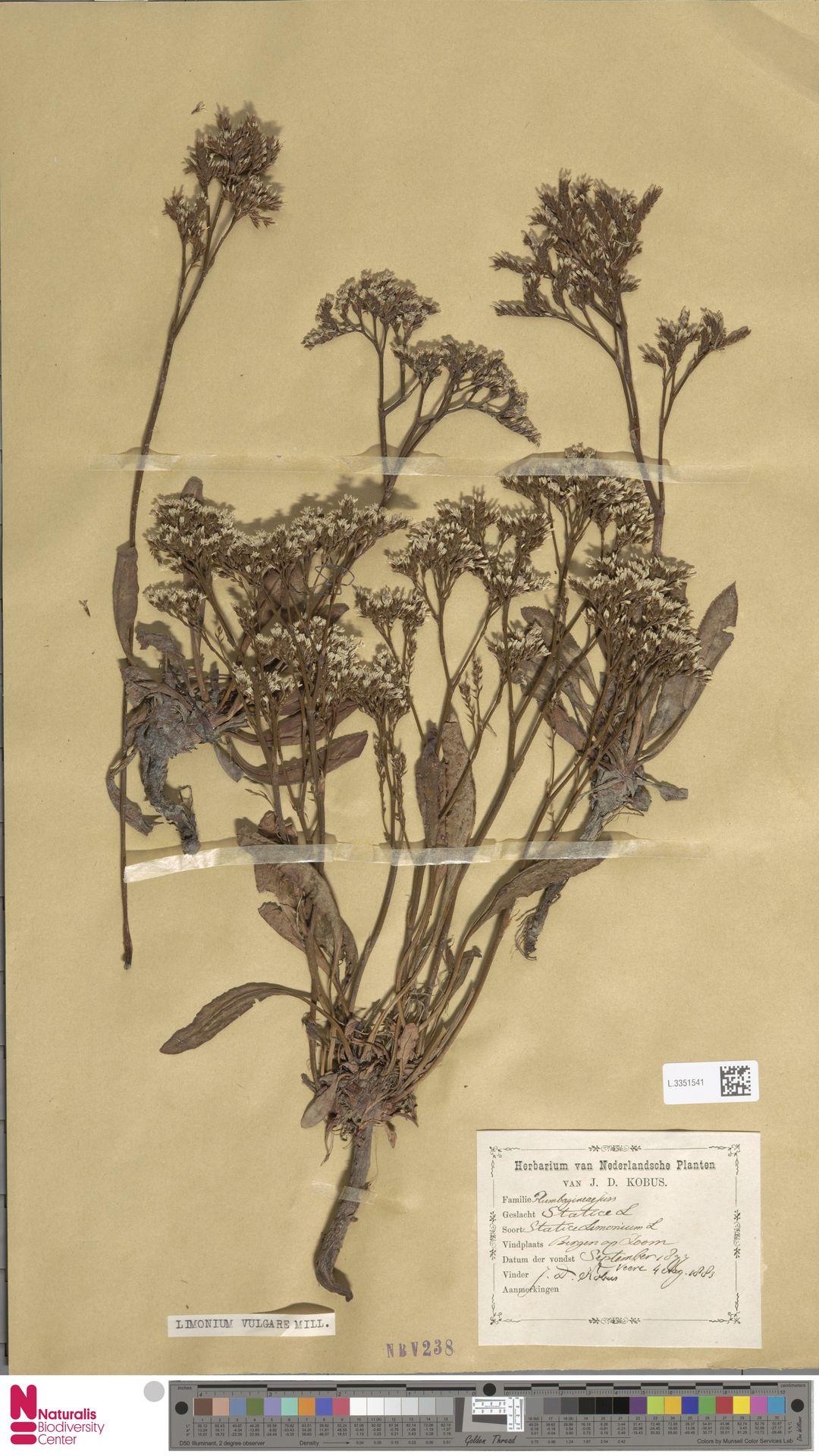 L.3351541 | Limonium vulgare Mill.