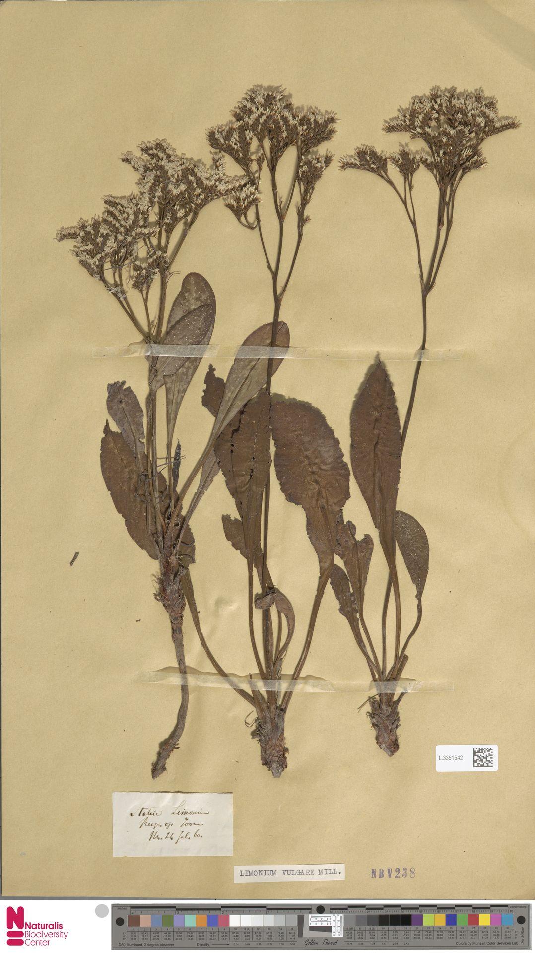 L.3351542 | Limonium vulgare Mill.