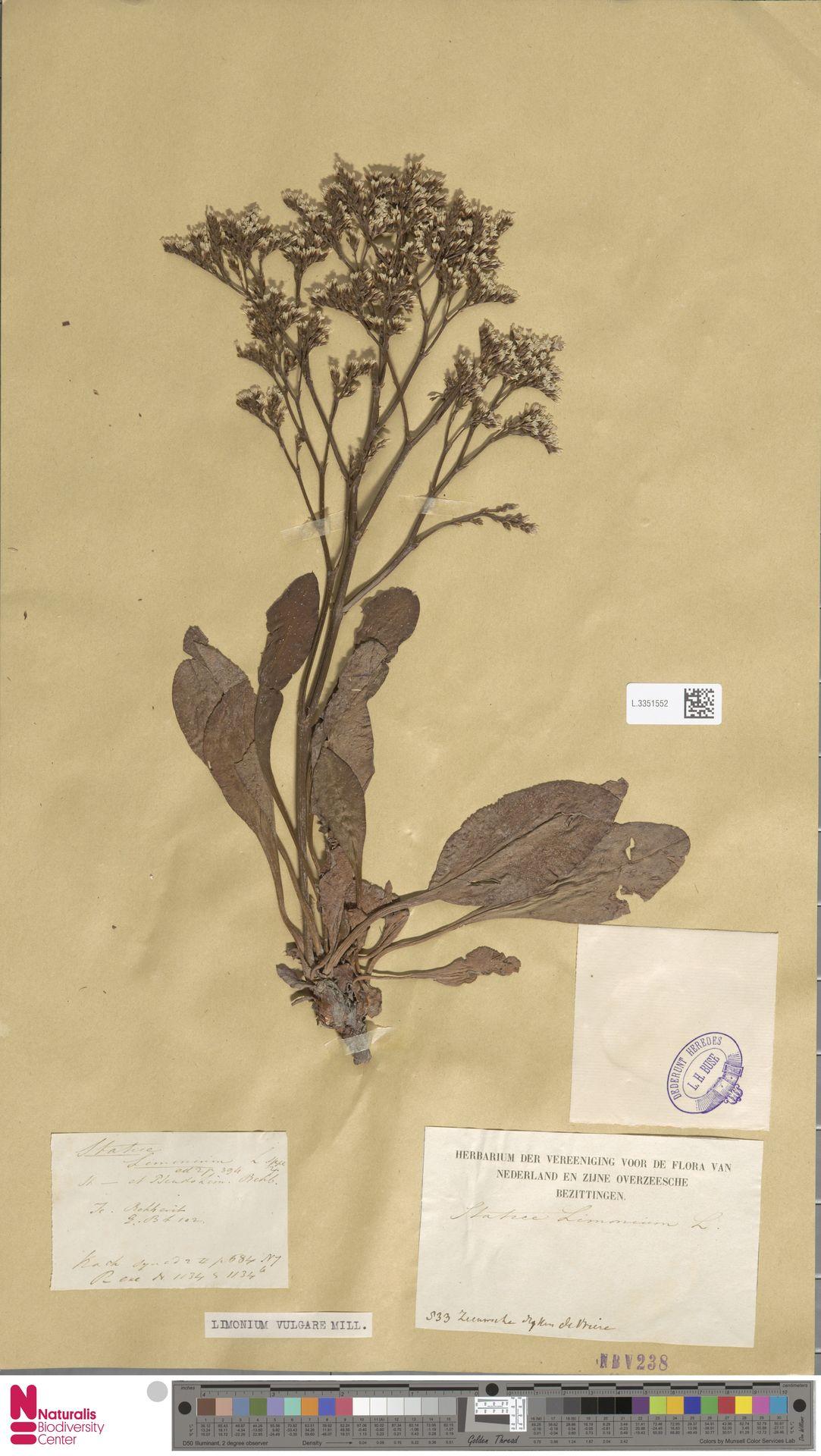 L.3351552 | Limonium vulgare Mill.