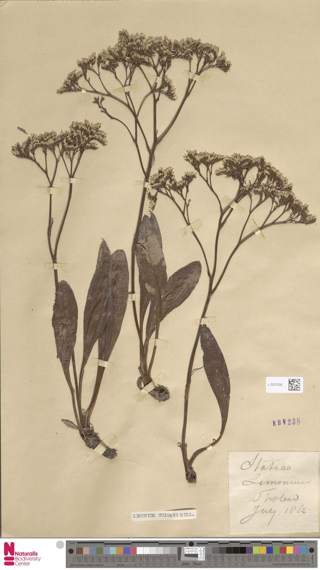 L.3351556 | Limonium vulgare Mill.