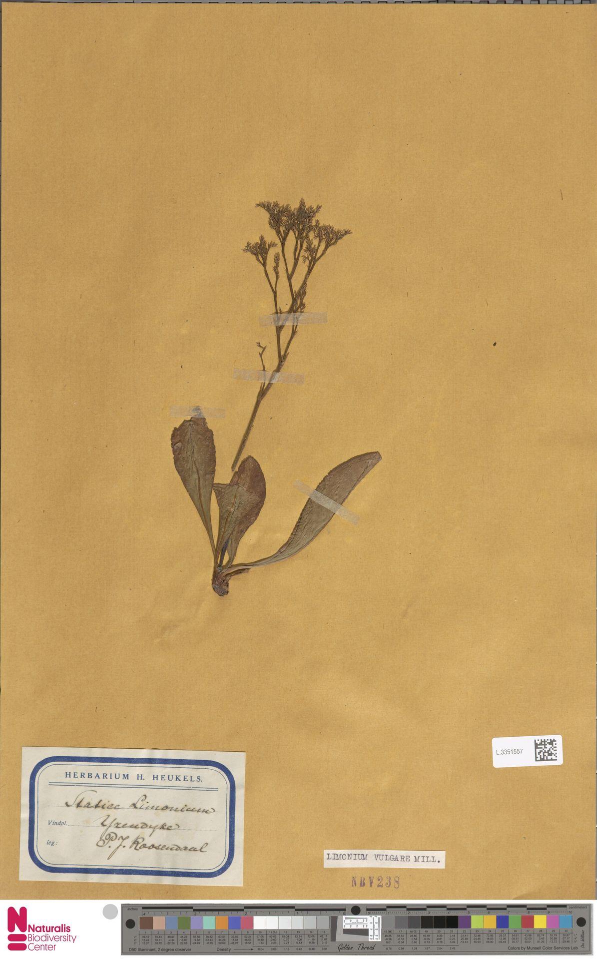 L.3351557 | Limonium vulgare Mill.