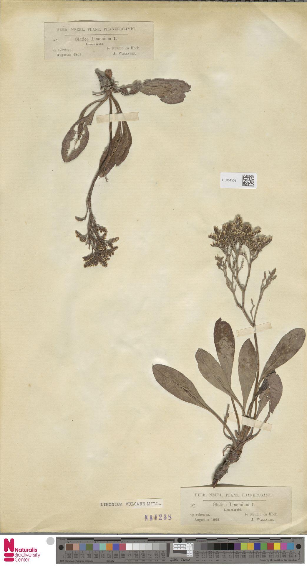 L.3351559   Limonium vulgare Mill.